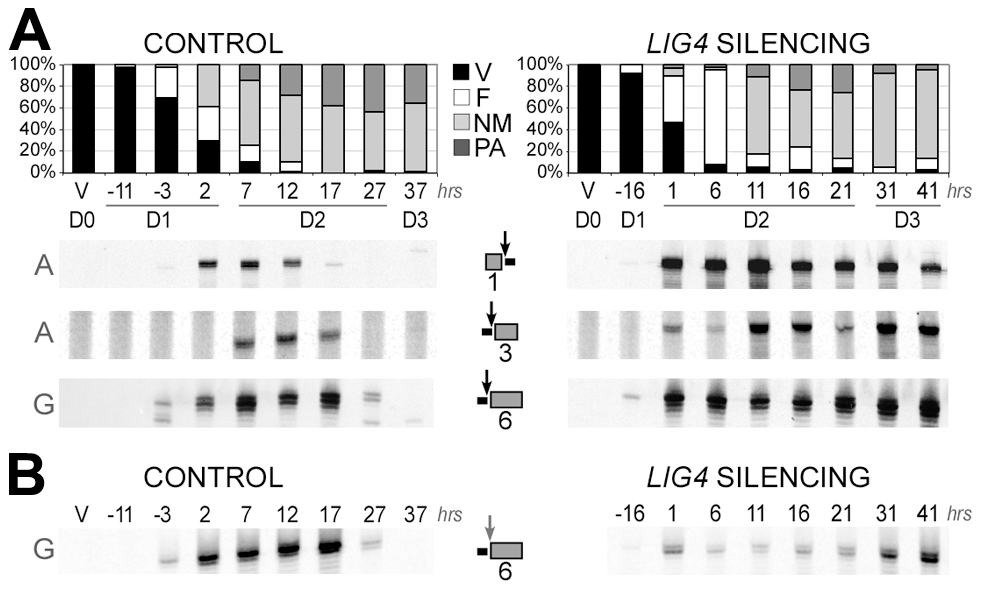 LMPCR detection of free broken ends at IES boundaries in <i>LIG4</i>-silenced cells.