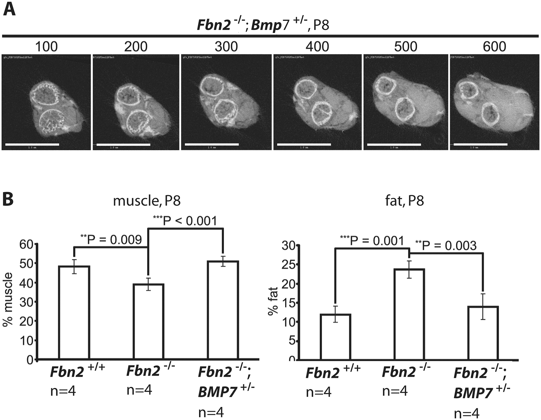 Effects of genetic ablation of one allele of <i>Bmp7</i> on <i>Fbn2</i> null forearm muscle and fat.