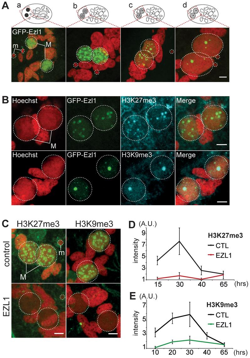 EZL1 is required for H3K27me3 and H3K9me3 in the developing somatic MAC.