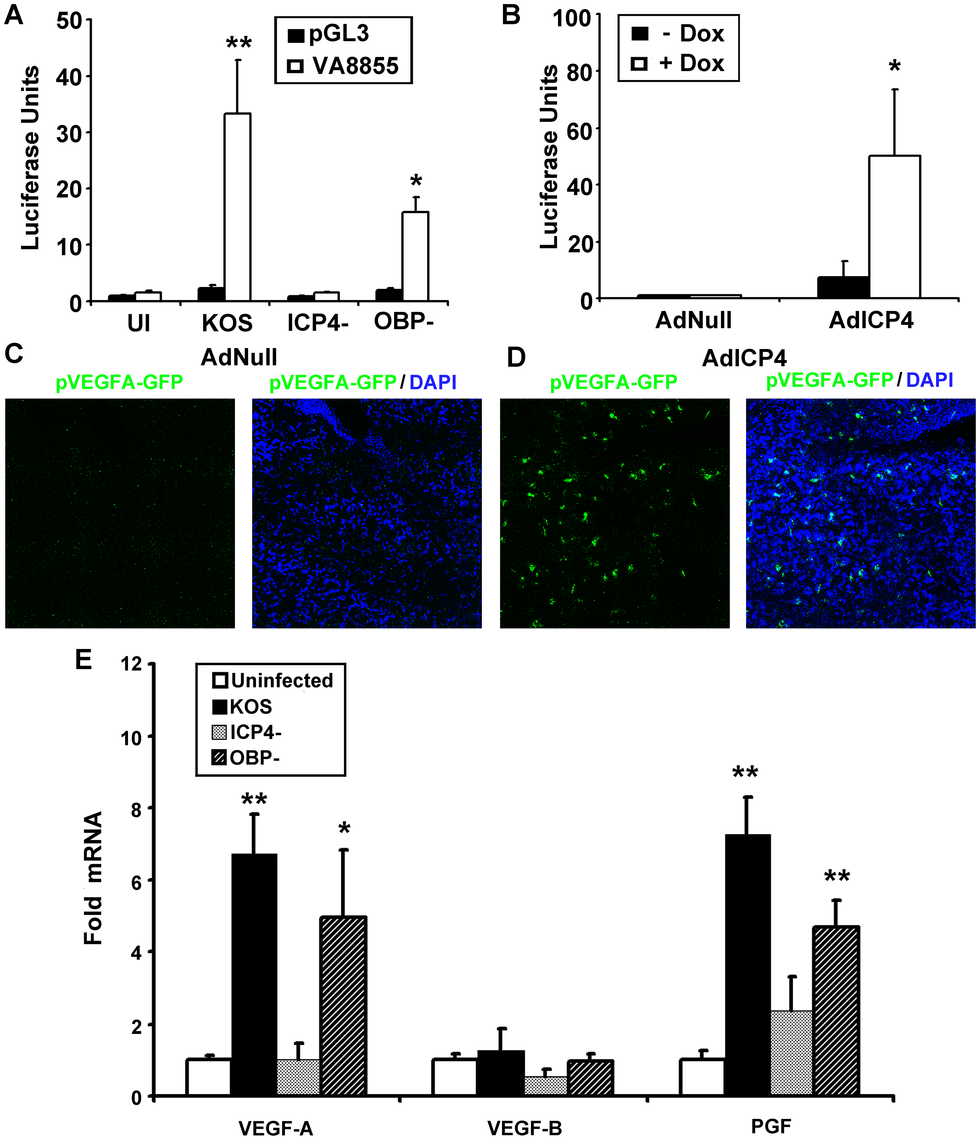 ICP4 expression is required and sufficient to drive VEGF-A transcription.