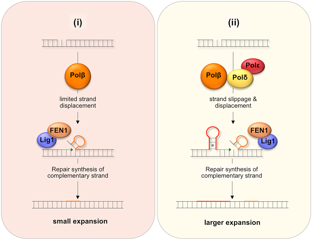 Model for BER-mediated repeat expansion in the FX PM mouse.