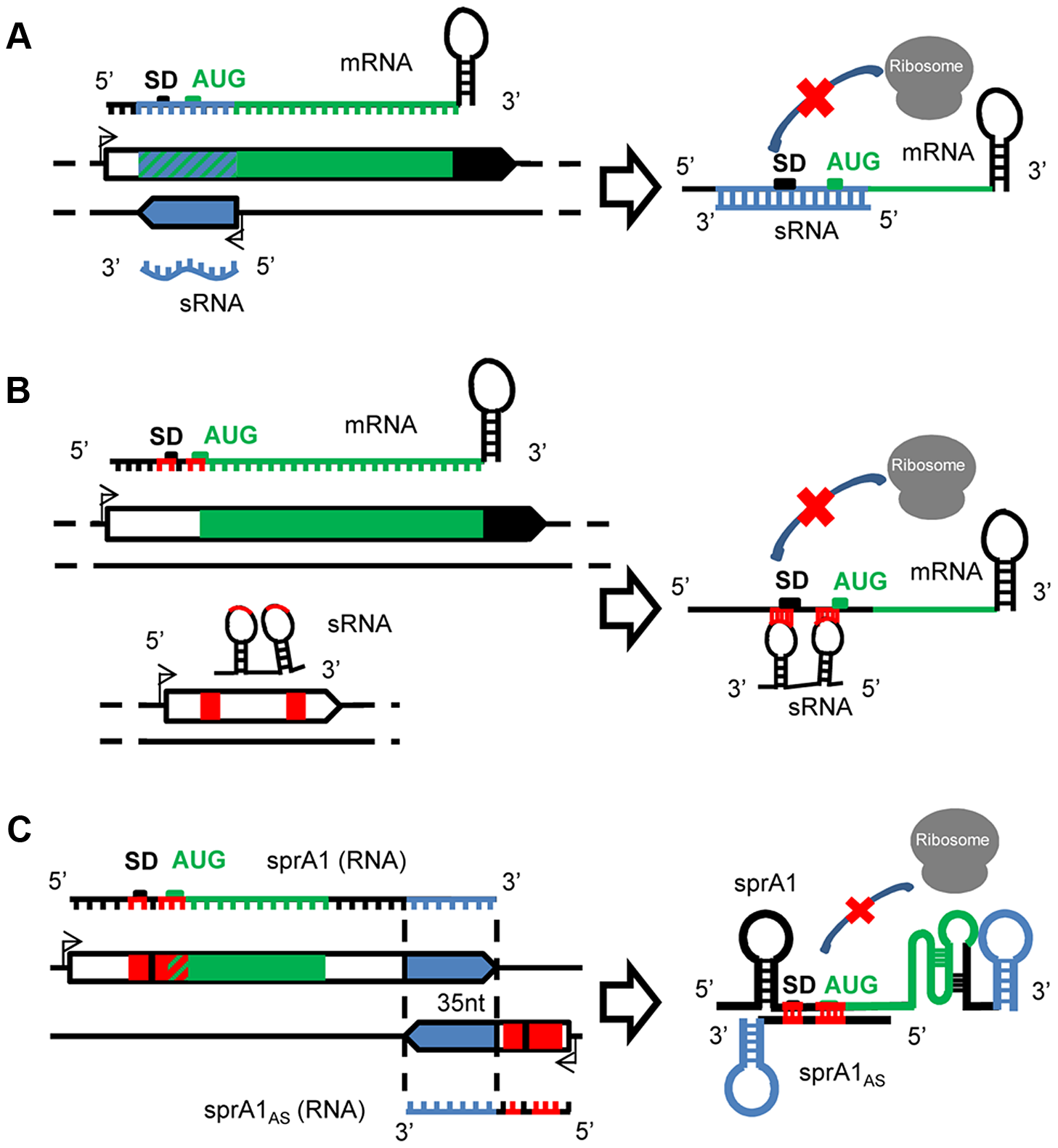 A variety of mechanisms of actions for the <i>S. aureus</i> sRNAs.