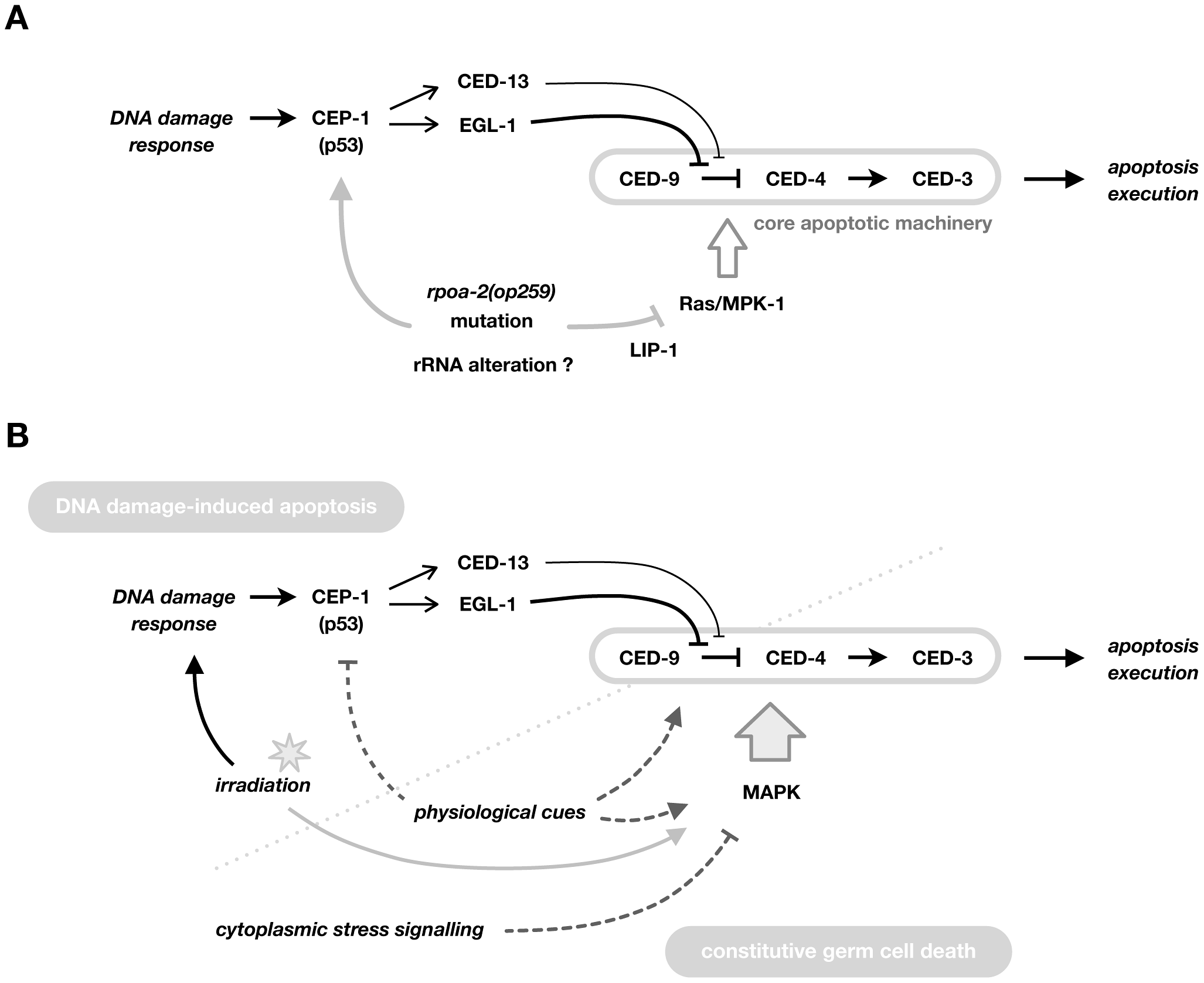 Model for the role of RPOA-2 and Ras/MAPK in determining apoptosis.