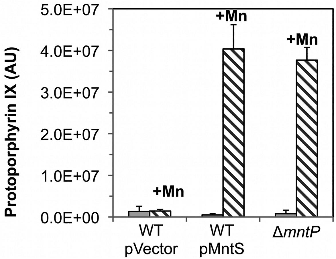 Ferrochelatase is inhibited by excess manganese.