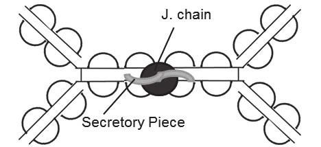 Fig. 4. Secretory IgA (dimer)