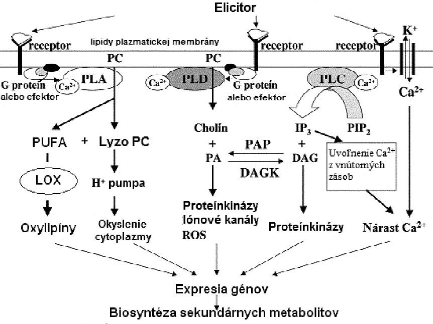 """(Fosfo)lipidová signalizácia v rastlinách (DAG – diacylglycerol, DAGK – diacylglycerolkináza, IP<sub>3</sub> – inozitol-1,4,5-trifosfát, LOX – lipoxygenáza, PA – kyselina fosfatidová, PAP – fosfatáza kyseliny fosfatidovej, PC – fosfatidylcholín, PIP2 – fosfatidylinozitol-4,5-difosfát, PLA – fosfolipáza A, PLC – fosfolipáza C, PLD – fosfolipáza D, PUFA – polynenasýtené mastné kyseliny, ROS – """"reactive oxygen species""""= reaktívne formy kyslíka) (upravené podľa <sup>38)</sup>)"""