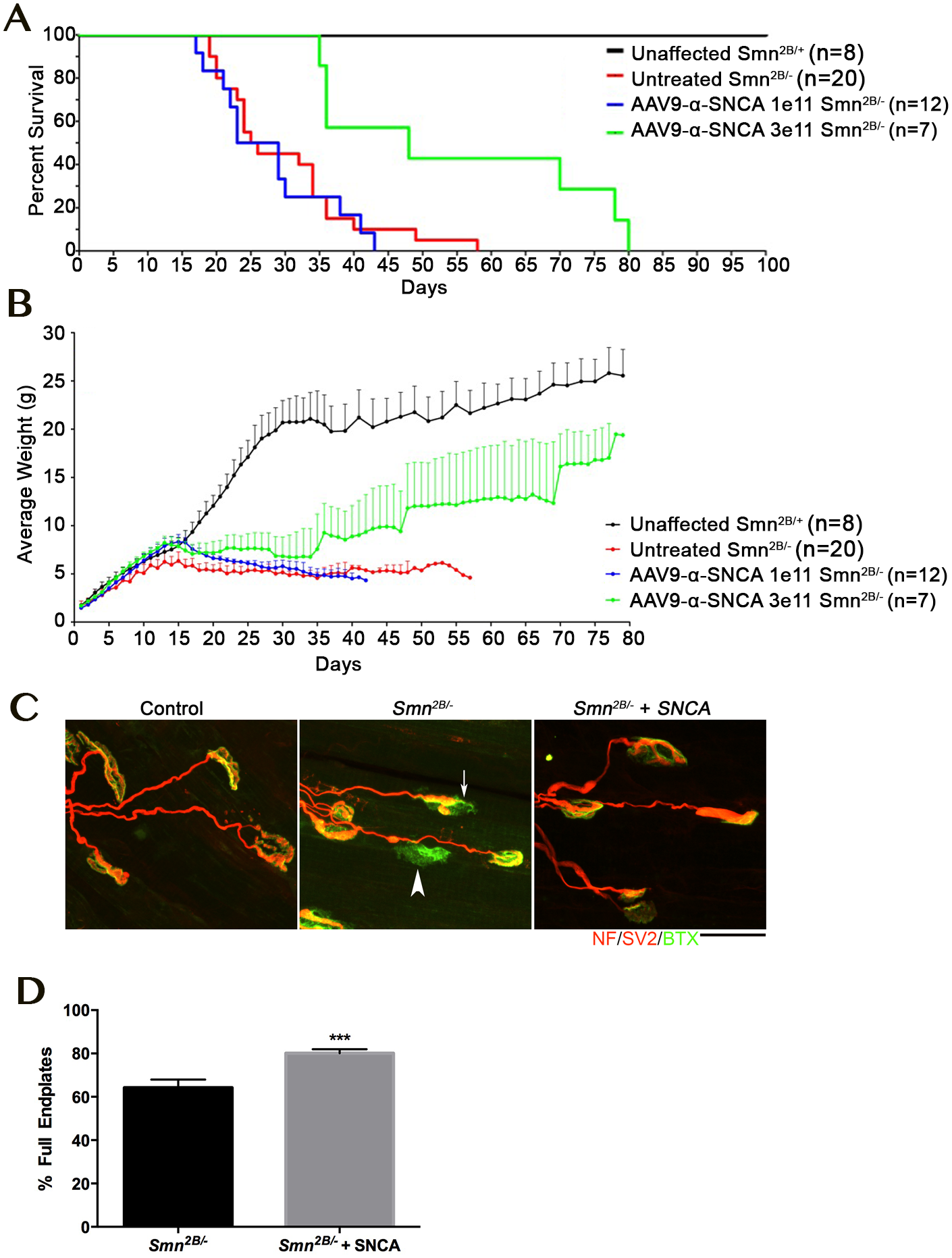 Overexpression of SNCA ameliorate phenotype and neuromuscular junction pathology in the <i>Smn</i><sup><i>2B/-</i></sup> mouse model of SMA.