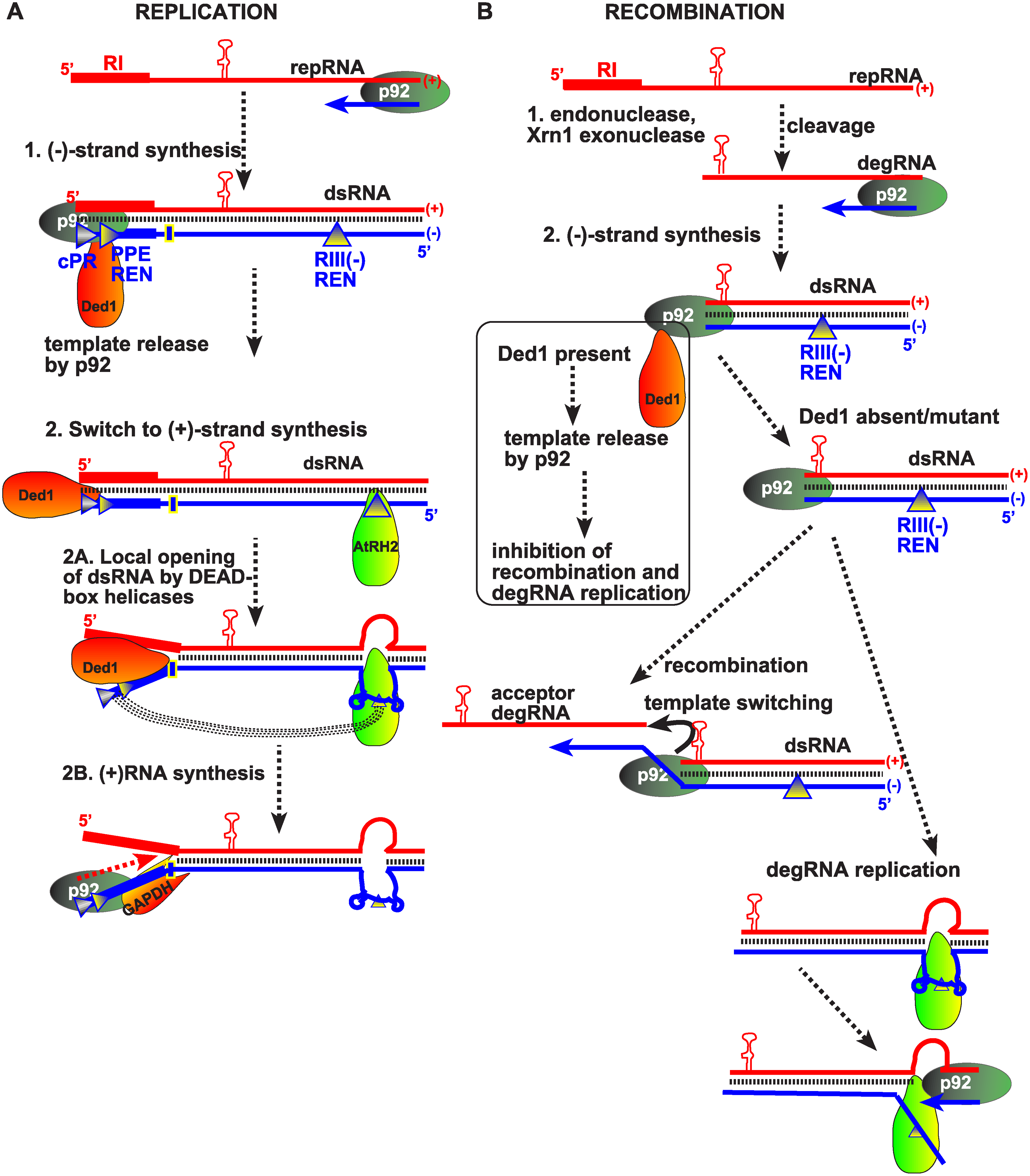 Models showing the functions of subverted cellular DEAD-box helicases in TBSV replication and viral RNA recombination.