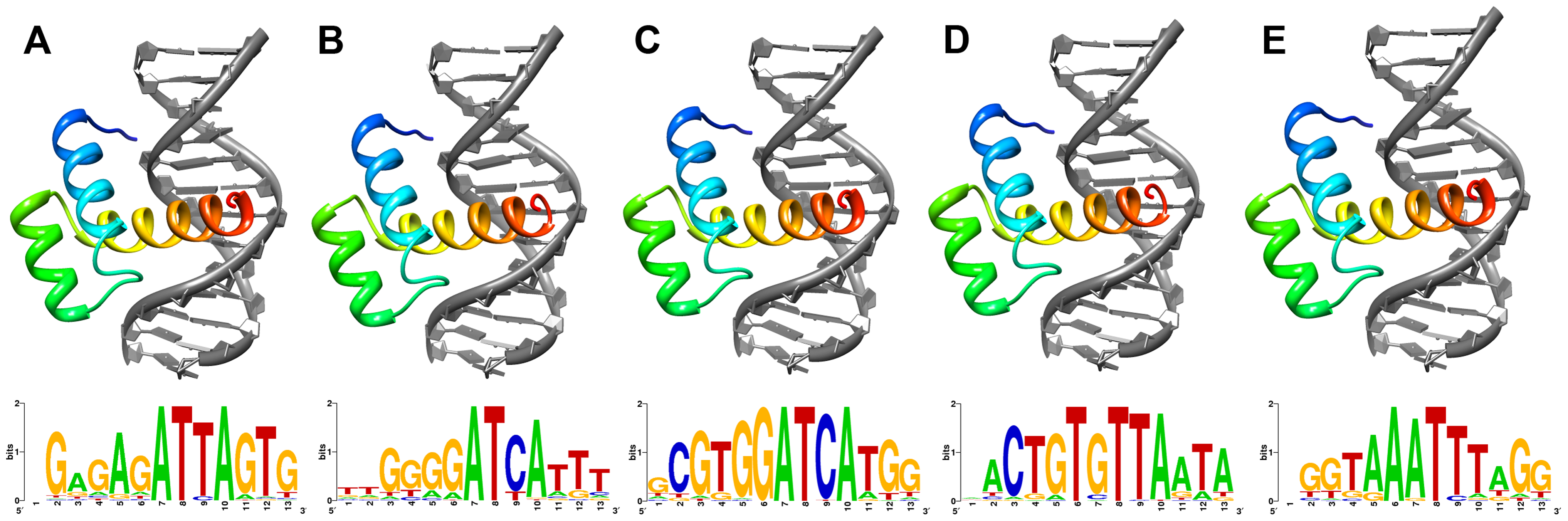 Lowest energy structural models of deduced (A) ShxA, (B) ShxB, (C) ShxC, (D) ShxD and (E) zen homeodomains from Speckled Wood <i>Pararge aegeria</i> bound to DNA sequences predicted through <i>in silico</i> evolution.