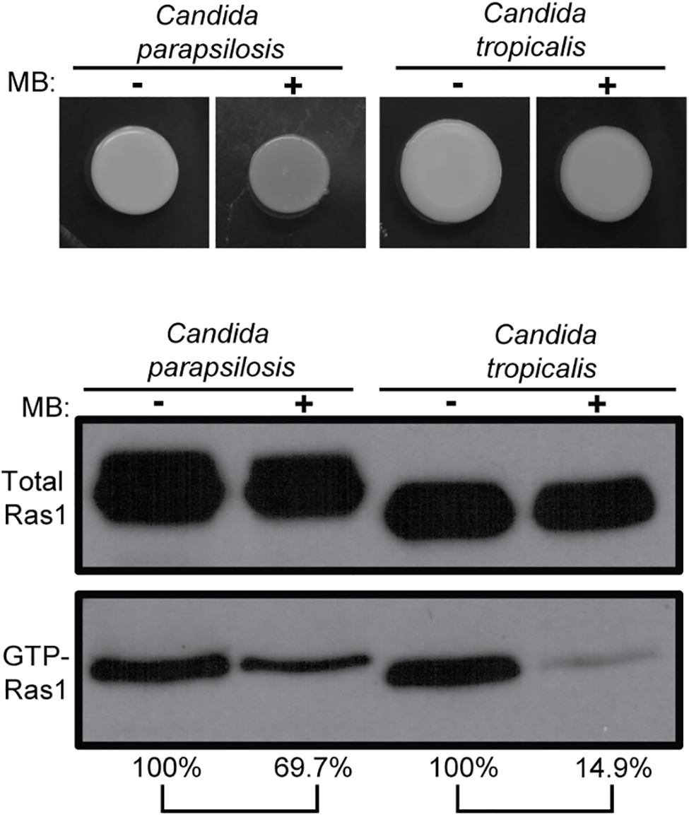 MB effects on Ras1 signaling also occur in other <i>Candida</i> species.