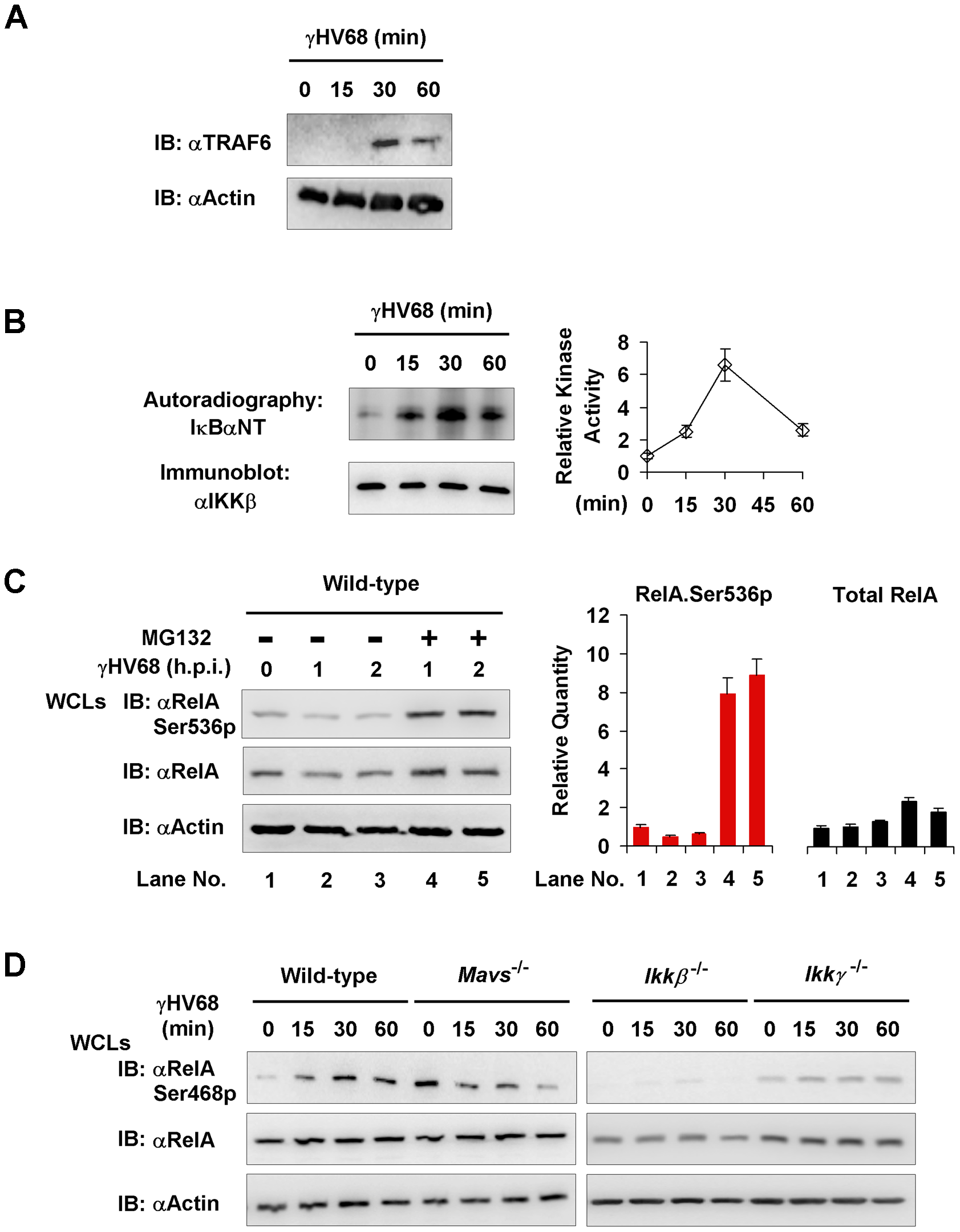 MAVS and IKKβ are important for γHV68-induced RelA phosphorylation at serine 468.