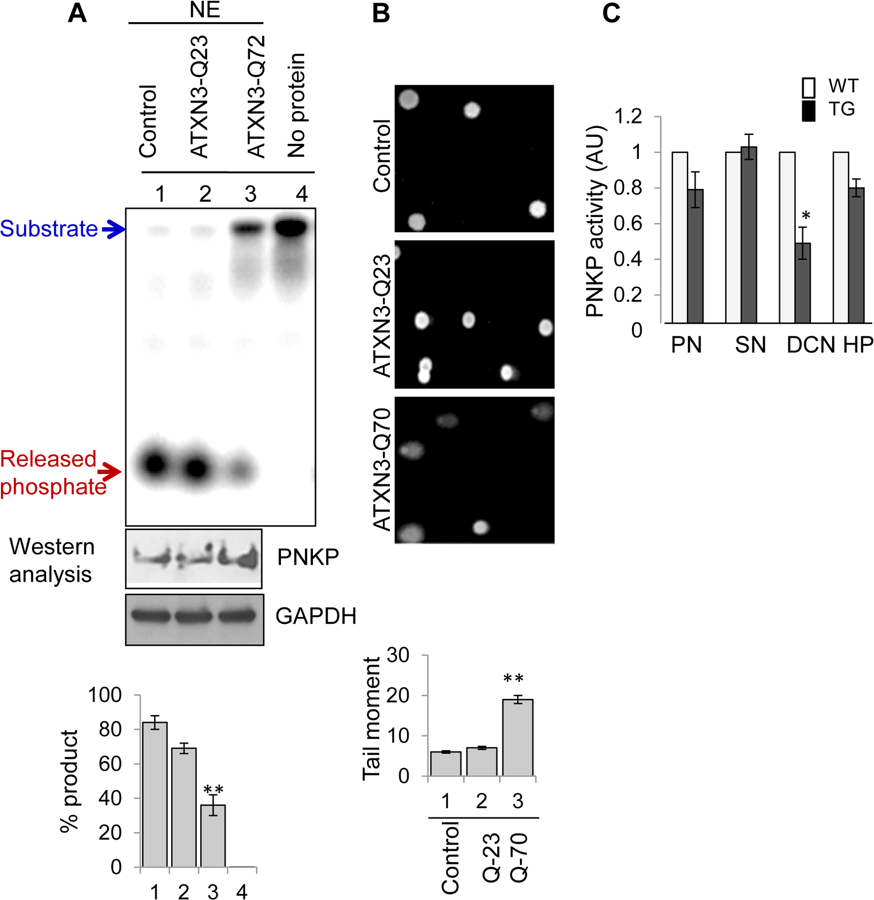 Decreased 3'-phosphatase activity in nuclear extracts from mutant ATXN3-expressing cells, and from SCA3 mouse brain regions.