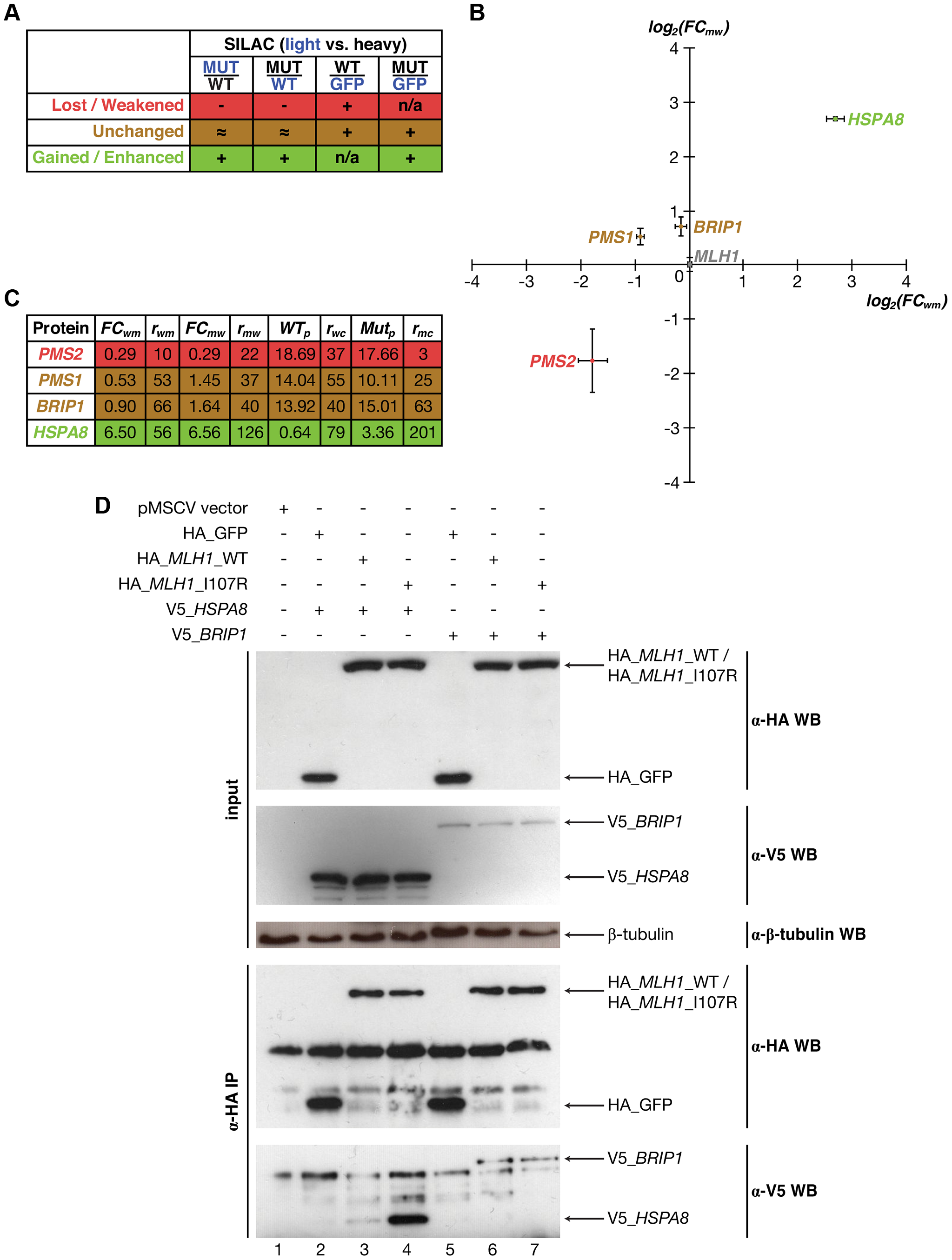 Identifying interactions of Mlh1 that are affected by the I107R mutation using SILAC-based mass spectrometry.
