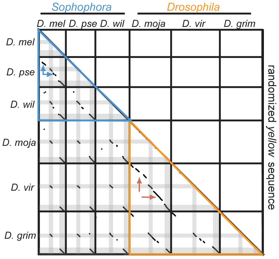 <i>yellow</i> sequences show no evidence of large duplications or transpositions.