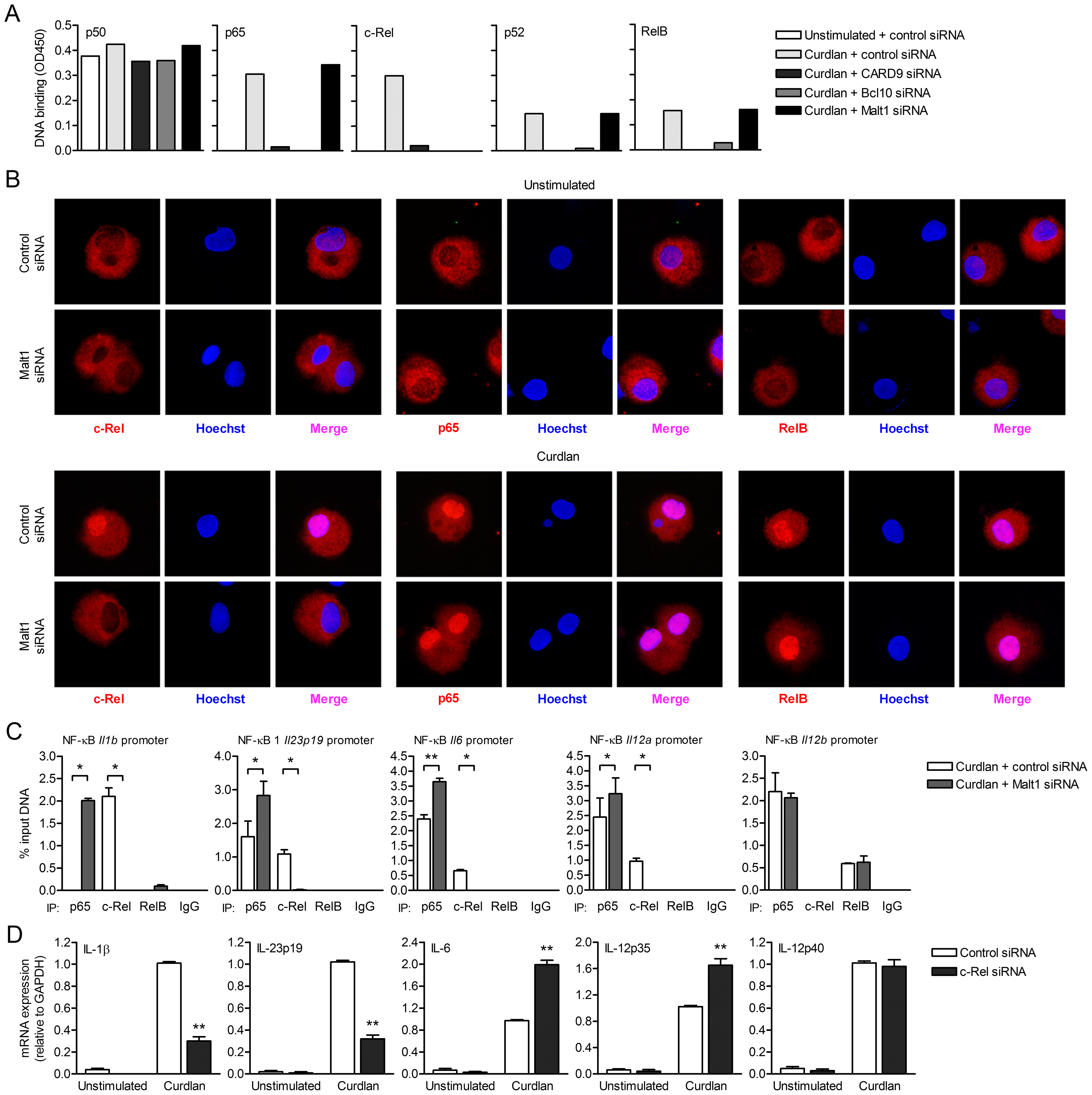 Malt1 signaling by dectin-1 is specifically required for c-Rel-dependent cytokine expression.