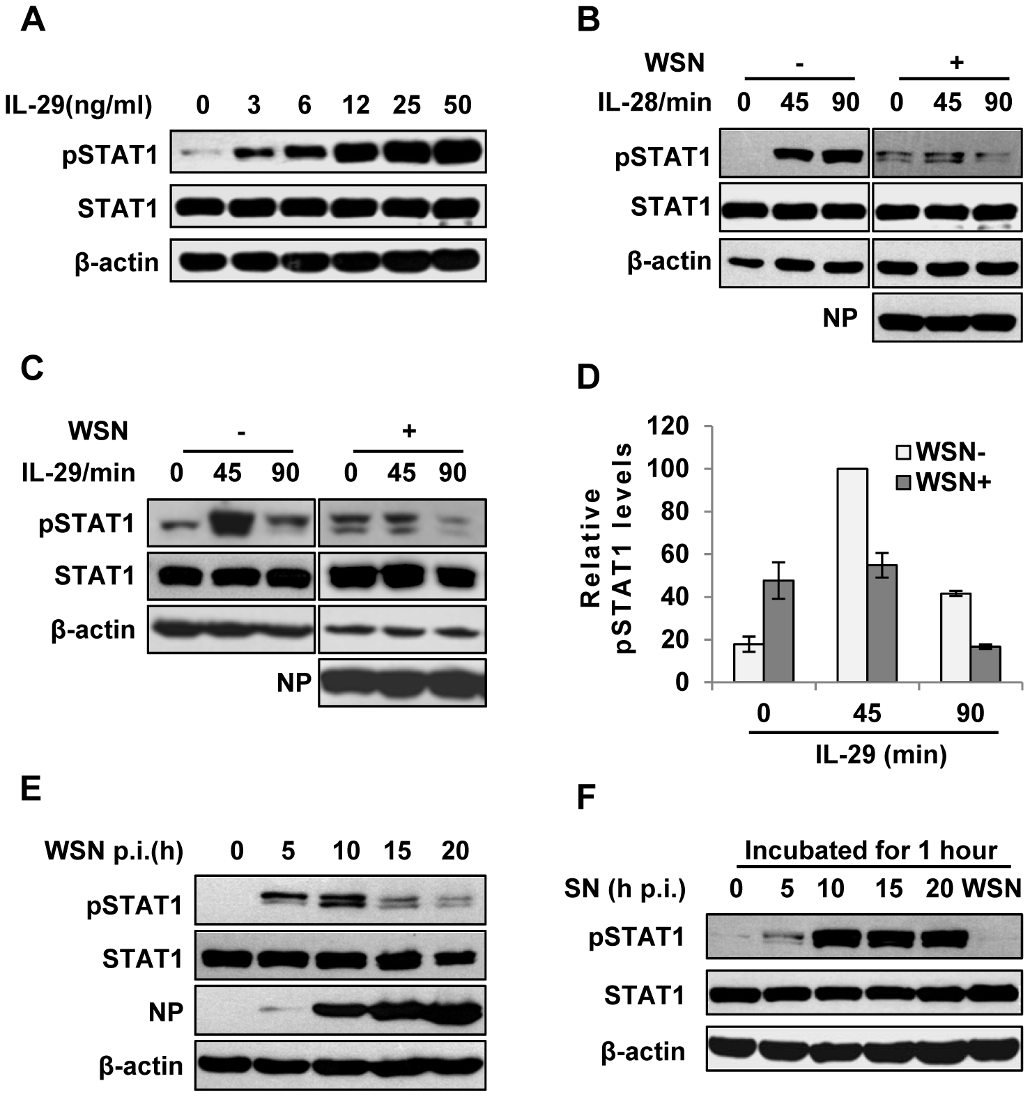 IAV inhibits IL-29-induced STAT1 phosphorylation in A549 cells.