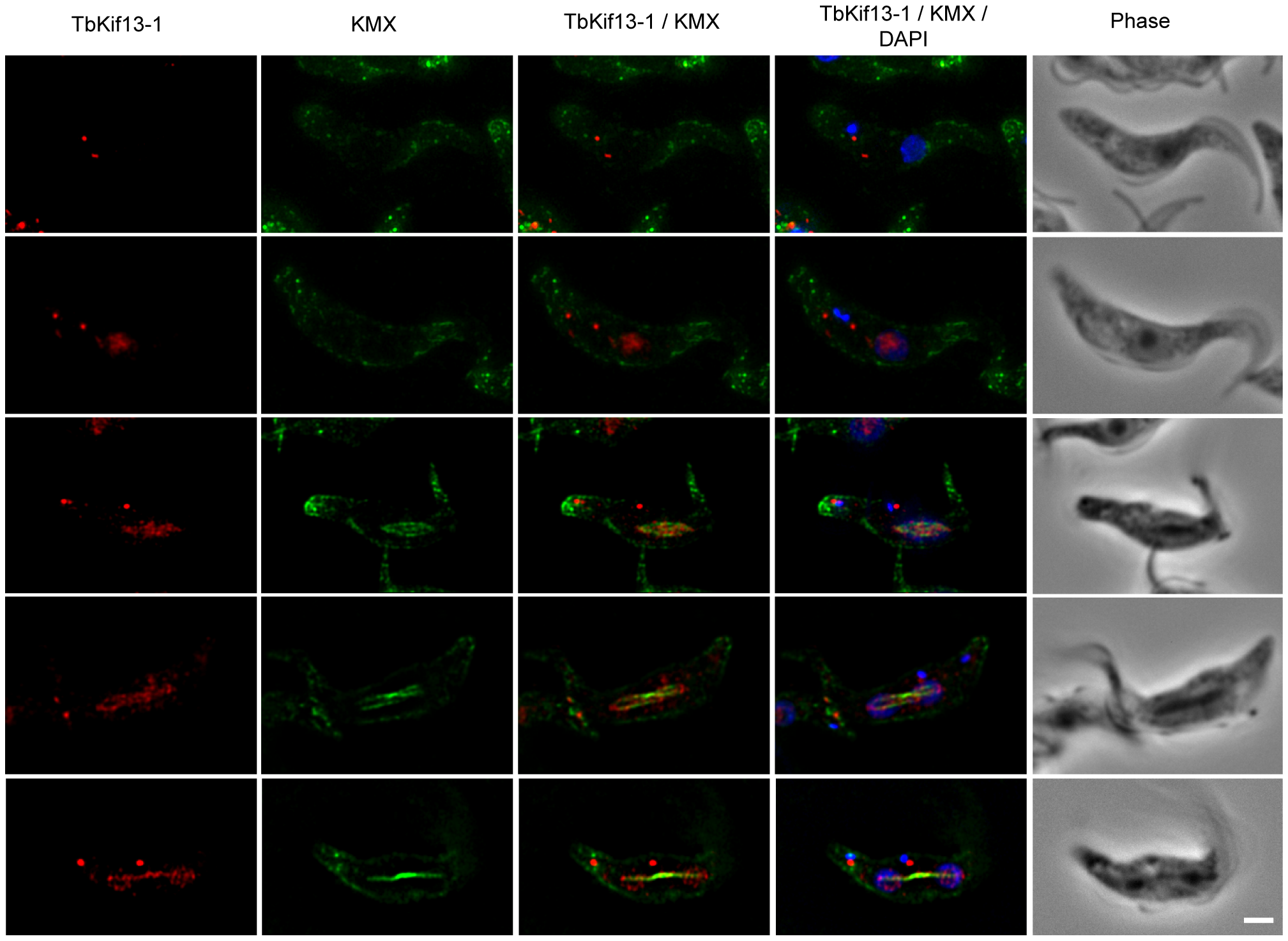 Cell cycle dependent localisation of TbKif13-1.