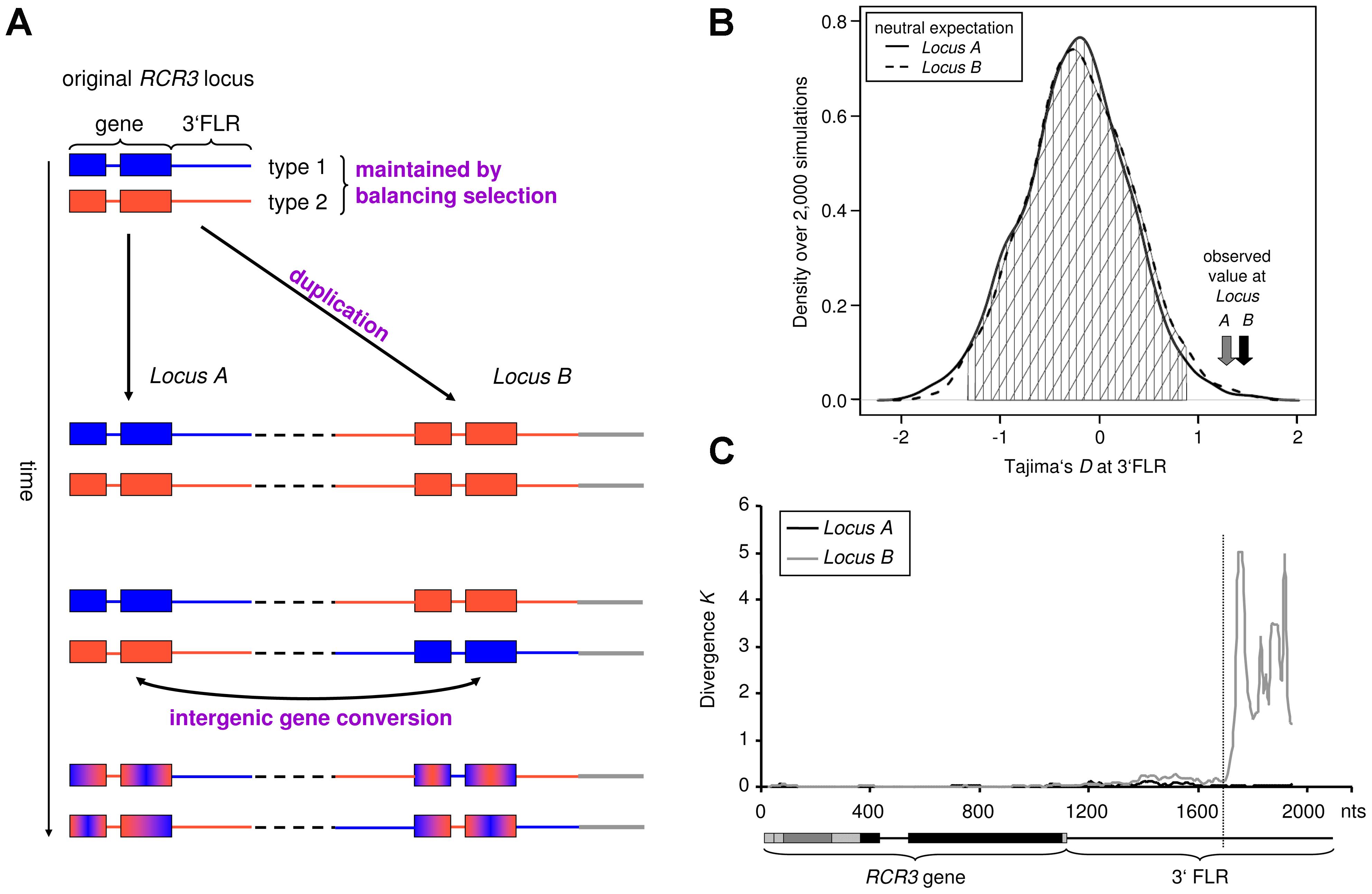 Evolutionary history of the <i>RCR3</i> gene family (<i>Locus A</i> and <i>B</i>).