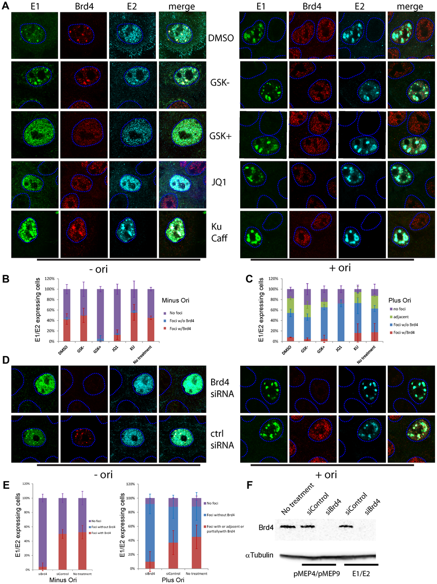 Brd4 is required for the formation of E1–E2 replication foci but viral genome replication obviates this need.
