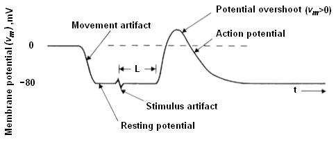 Fig. 1: Recording of action potential in an invertebrate nerve [3].