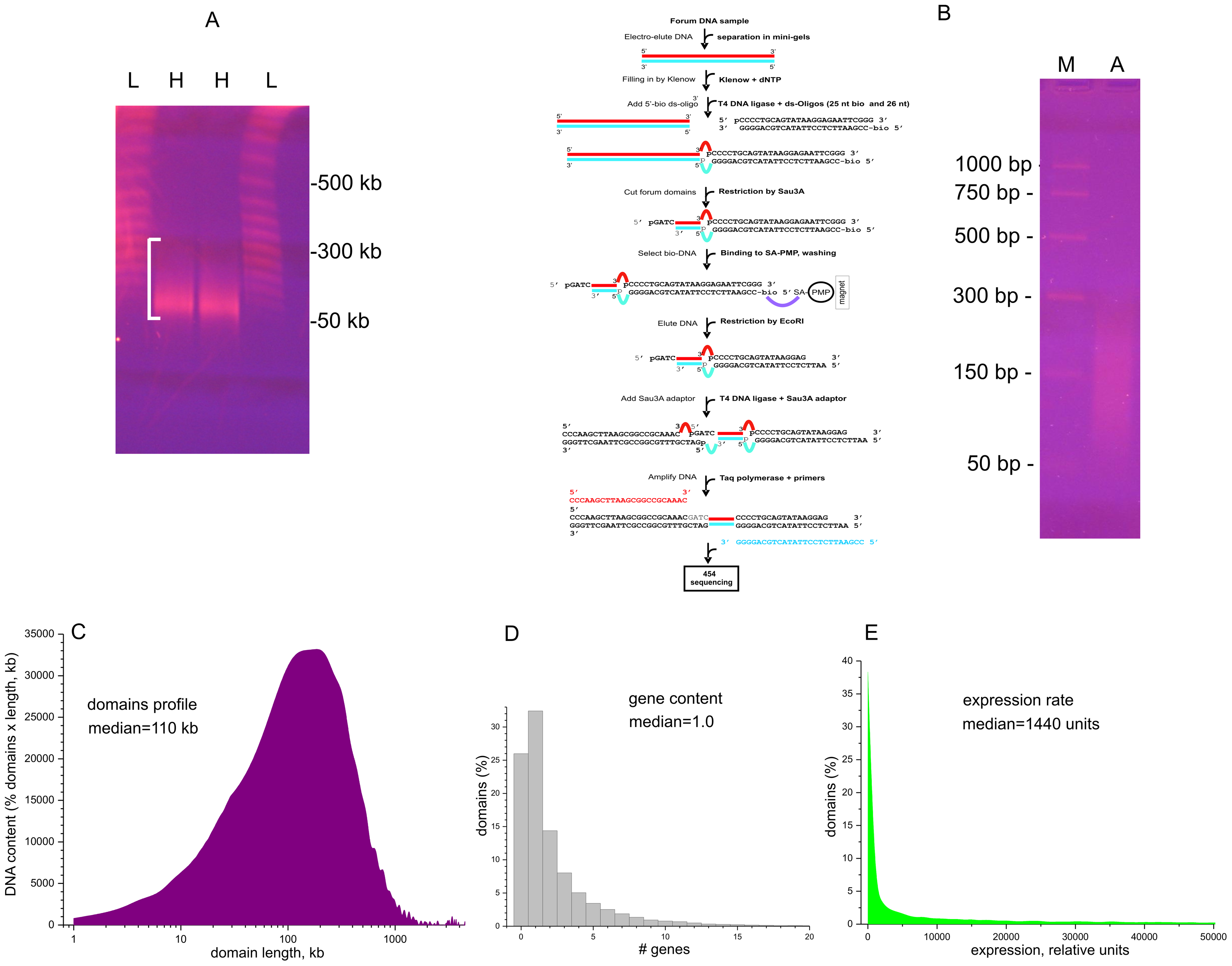 Isolation and amplification of terminal regions of forum domains and general properties of domains.