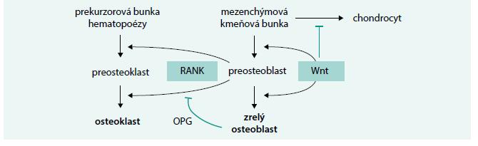 Schéma 1. Úloha WnT-signálnej cesty v regulácii diferenciácie kostných buniek