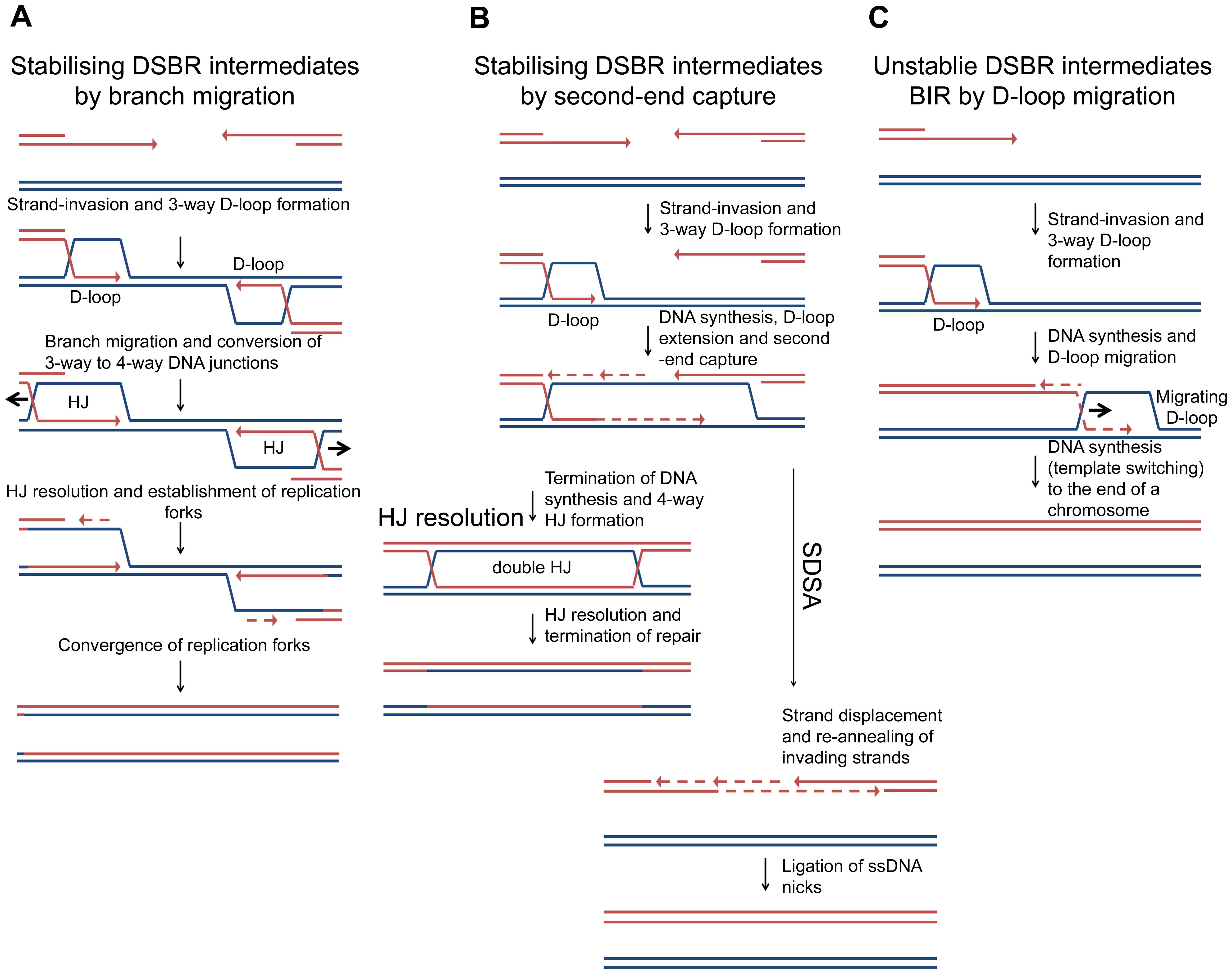 Models of DSBR.