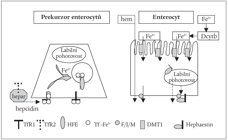 Schéma 2. Resorpce Fe<sup>2+</sup>, Fe<sup>3+</sup> a hemu enterocyty.