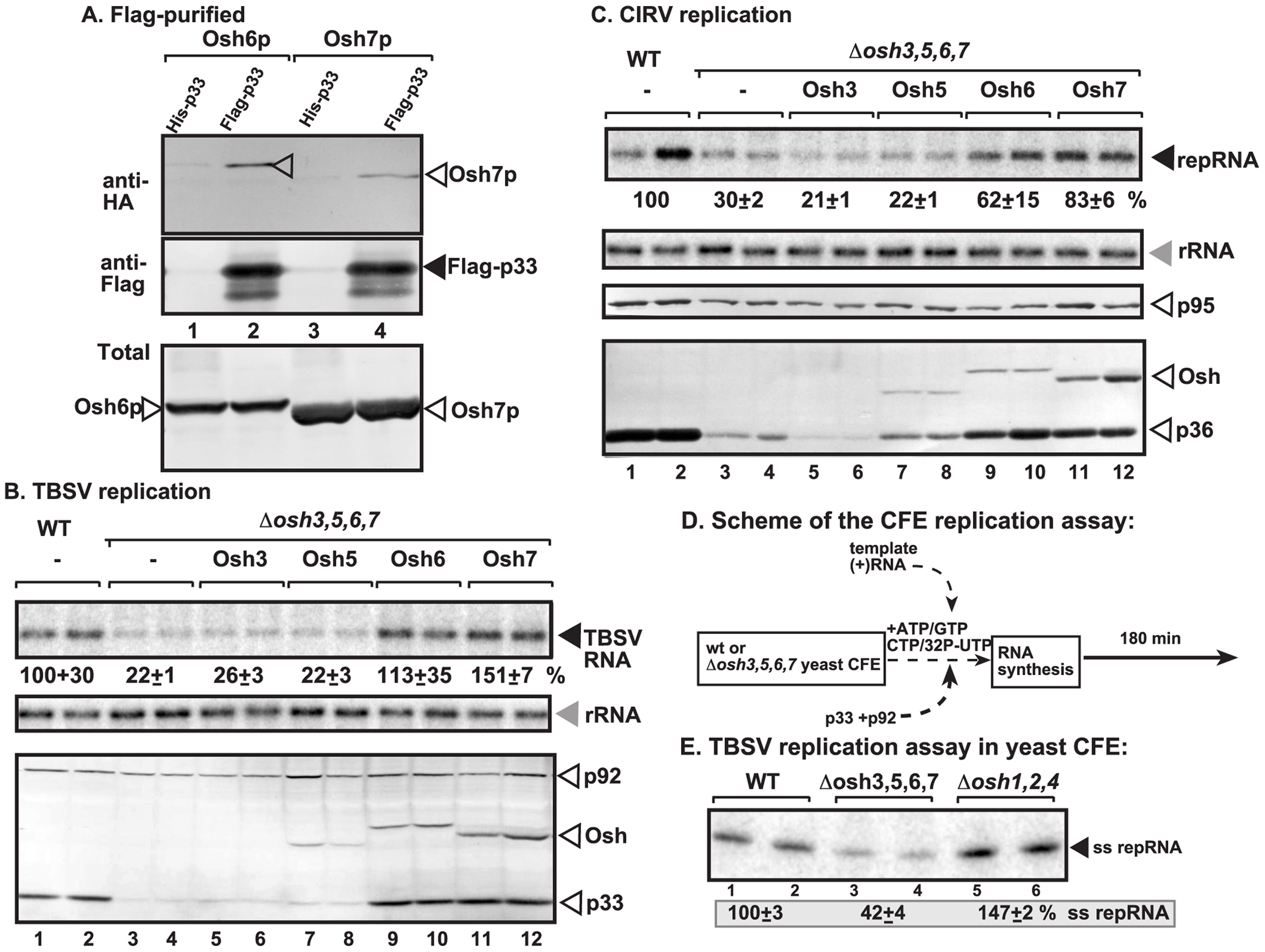 Interaction between p33 replication protein and yeast oxysterol-binding Osh proteins.