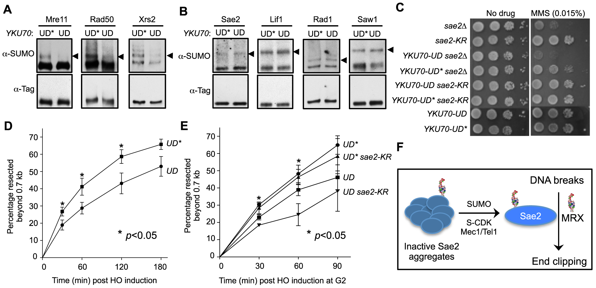 Sumoylation of MRX contributes to DNA end resection.