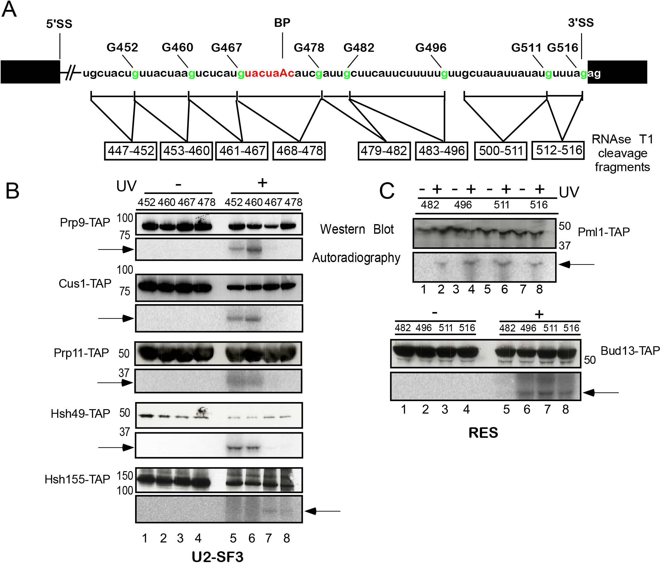 Site-specific UV crosslinking of U2 SF3a/b and RES complex proteins to the intron region around the branch-site in the yeast spliceosomal B<sup>act ΔPrp2</sup> complex.