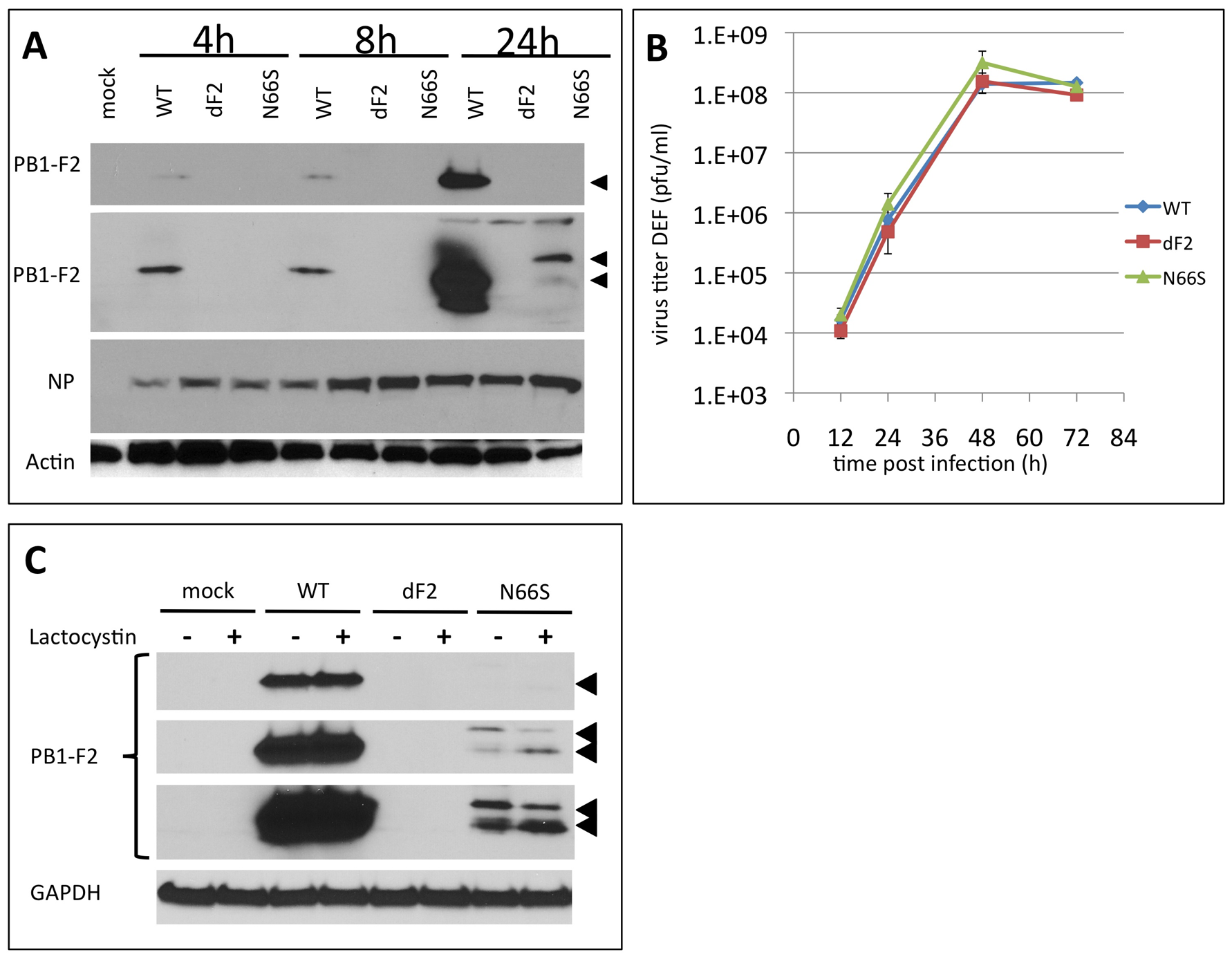 Effects of PB1-F2 expression on replication of A/Viet Nam/1203/2004 in duck fibroblasts <i>in vitro</i>.