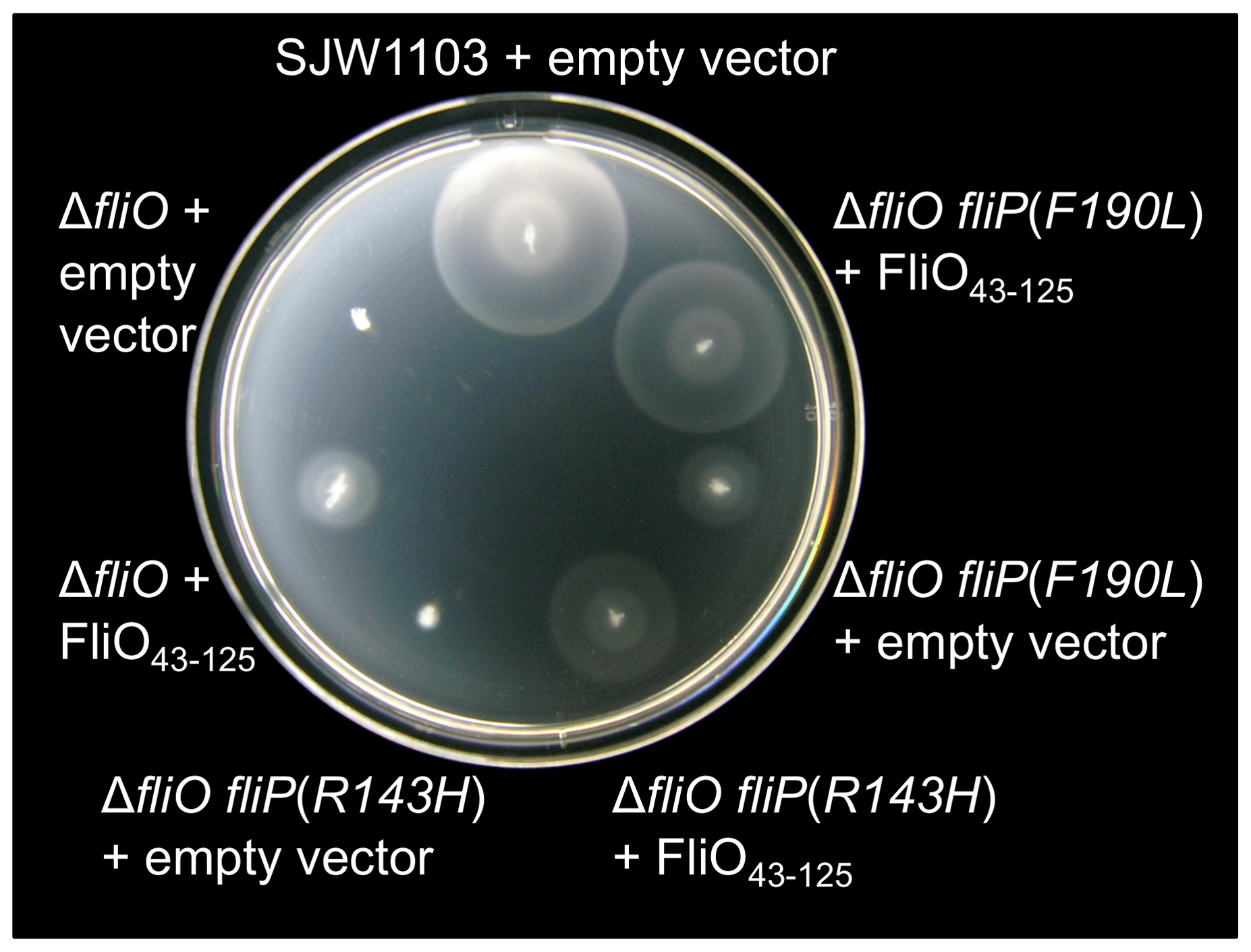 Rescue of motility by overexpression of the cytoplasmic domain of FliO.