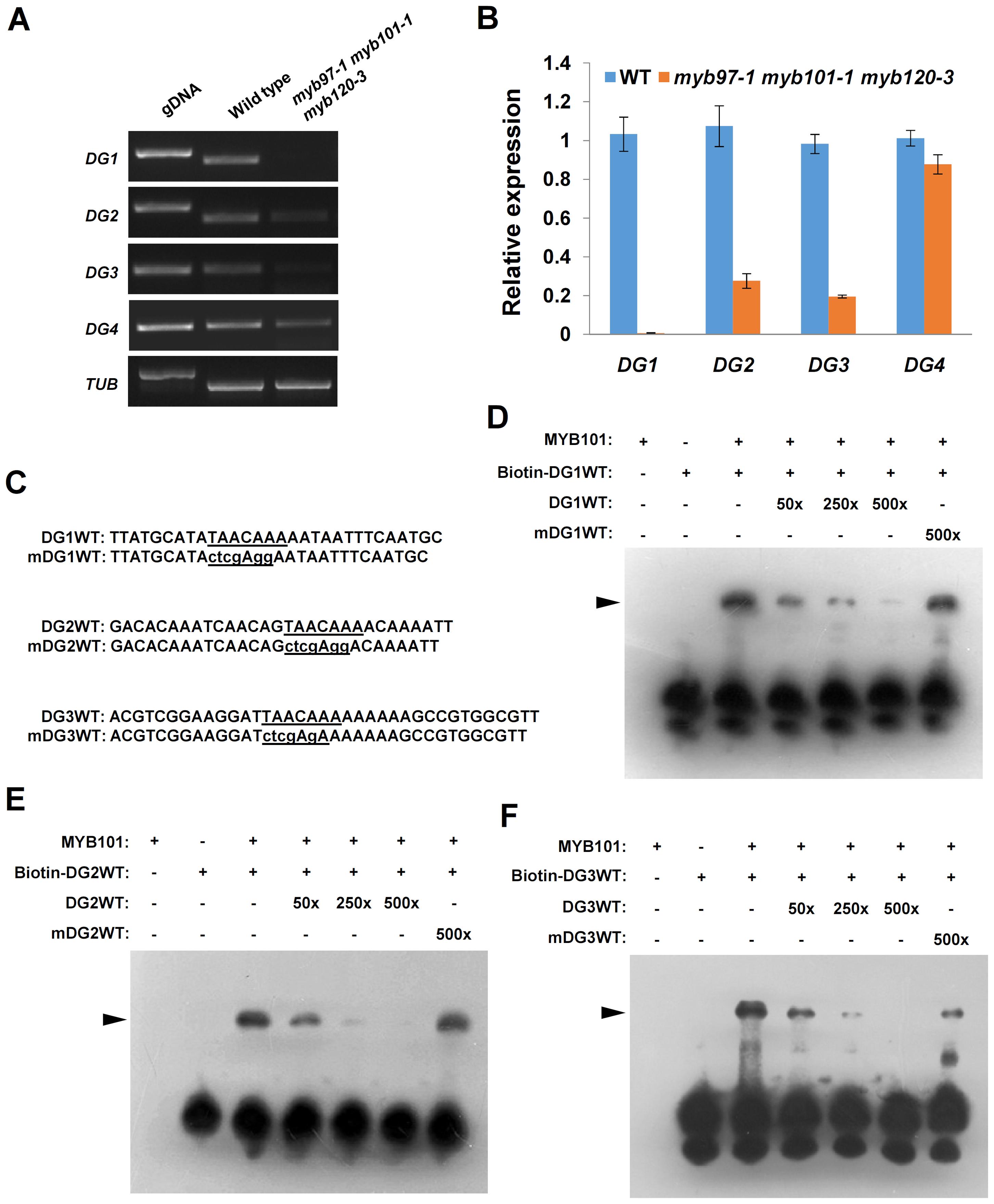 MYB101 binds to the MYBGAHV (TAACAAA) <i>cis</i>-element in the <i>DG1</i>, <i>DG2</i> and <i>DG3</i> promoters <i>in vitro</i>.