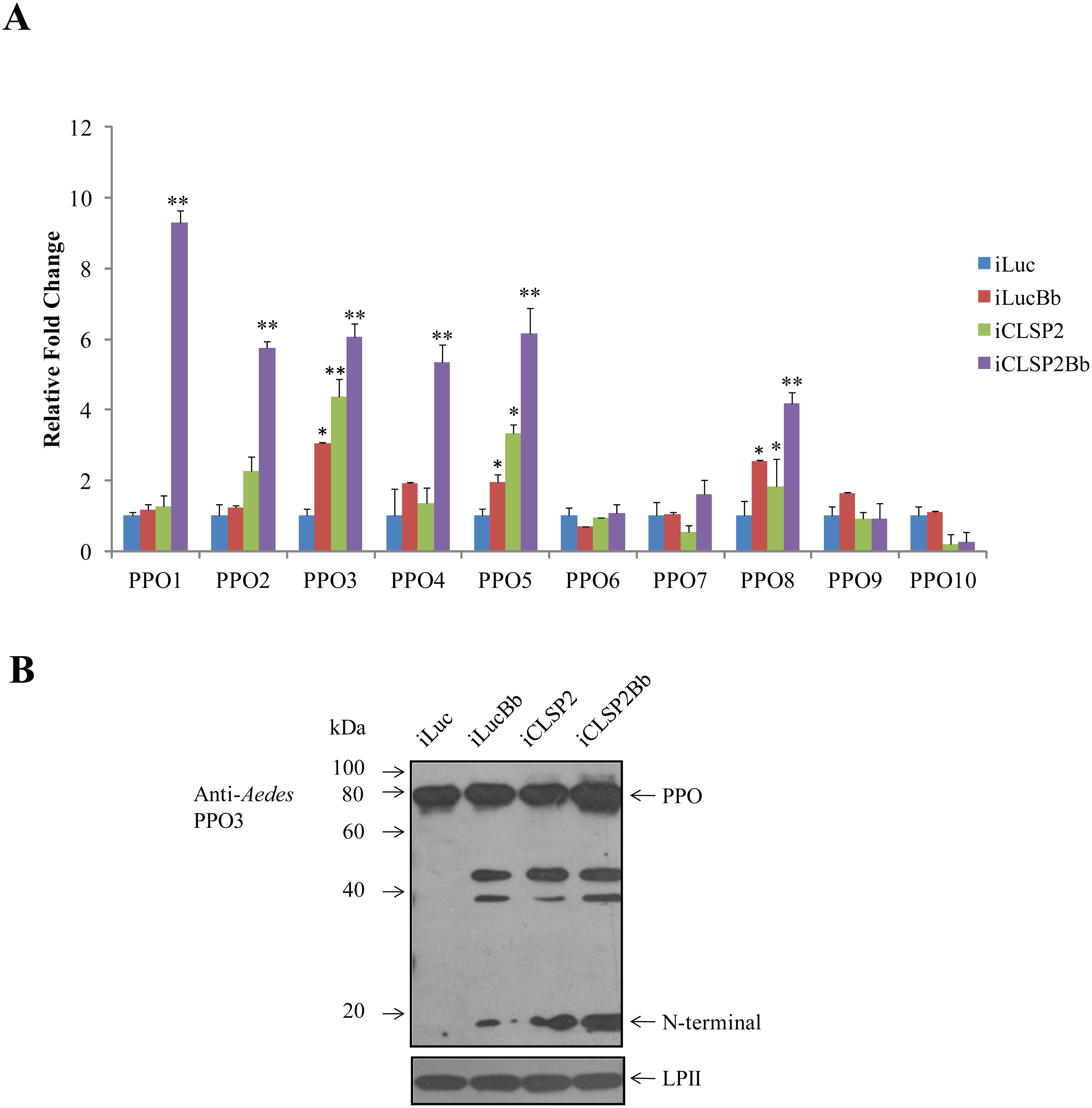 The effect of CLSP2 on transcriptional activation of <i>PPO</i> genes.