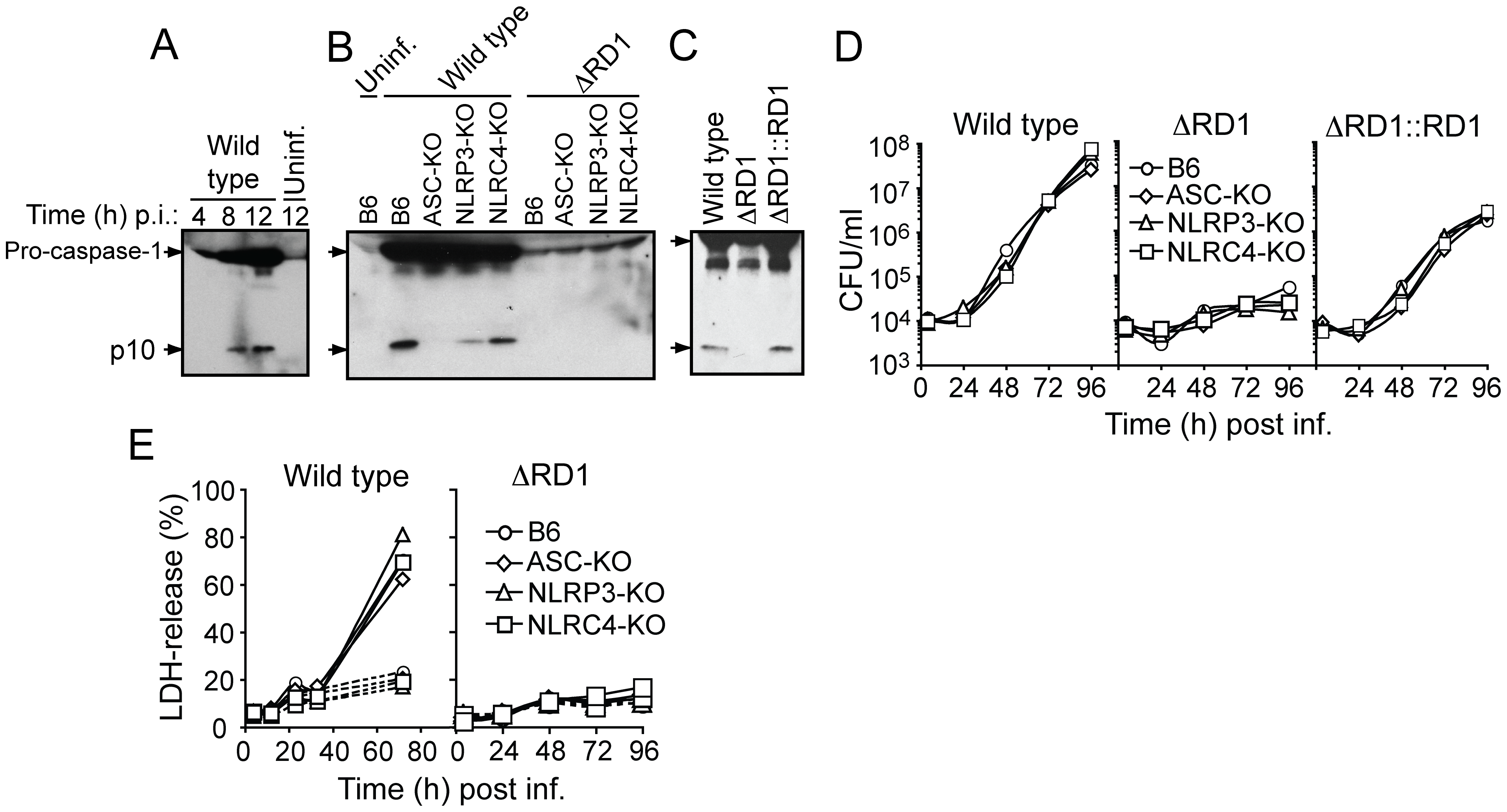 Esx-1 is required for activation of the NLRP3/ASC-inflammasome in bone marrow-derived macrophages.