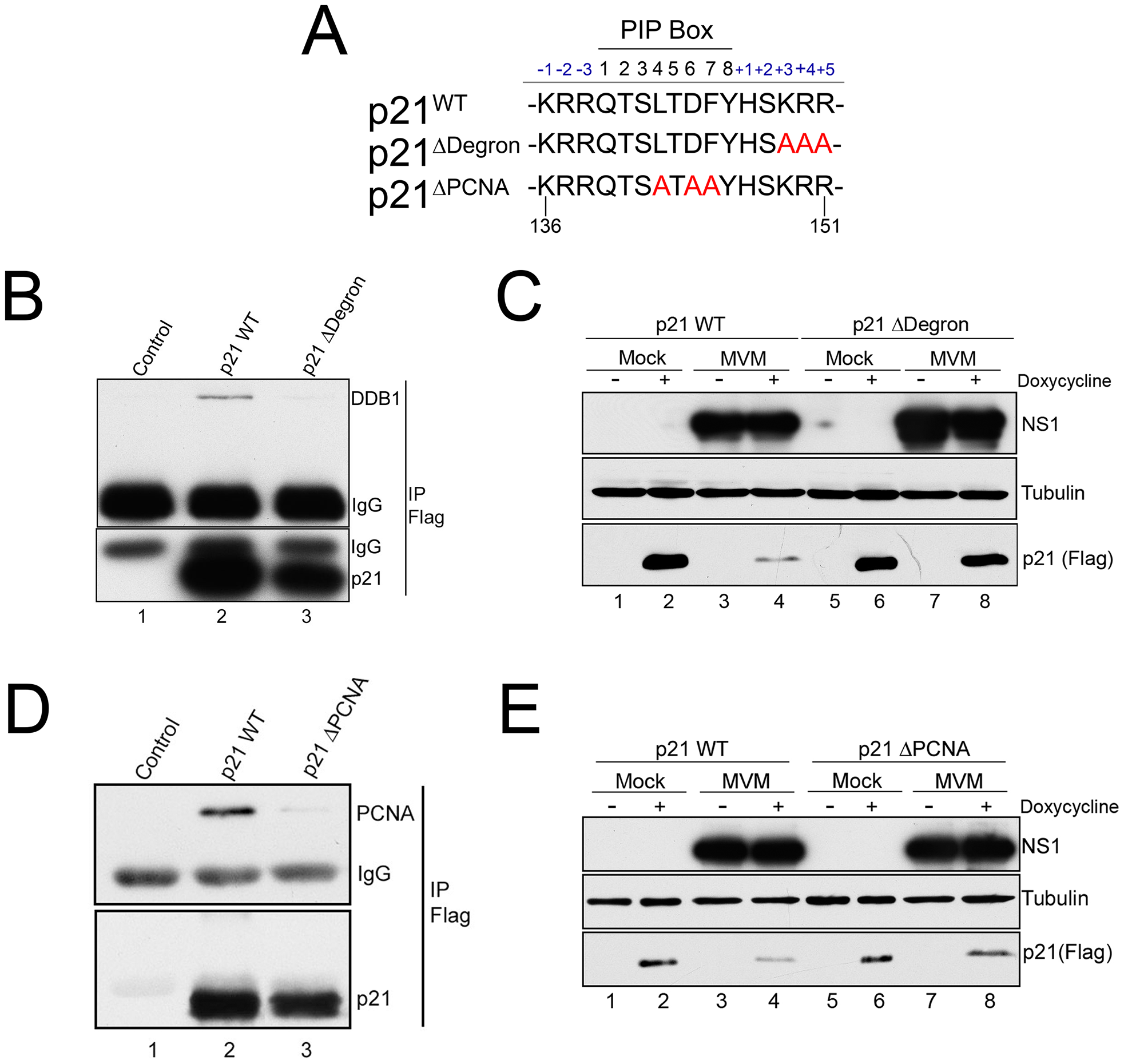 p21 degradation during MVM requires interaction with PCNA and the CRL4<sup>Cdt2</sup> ligase complex.