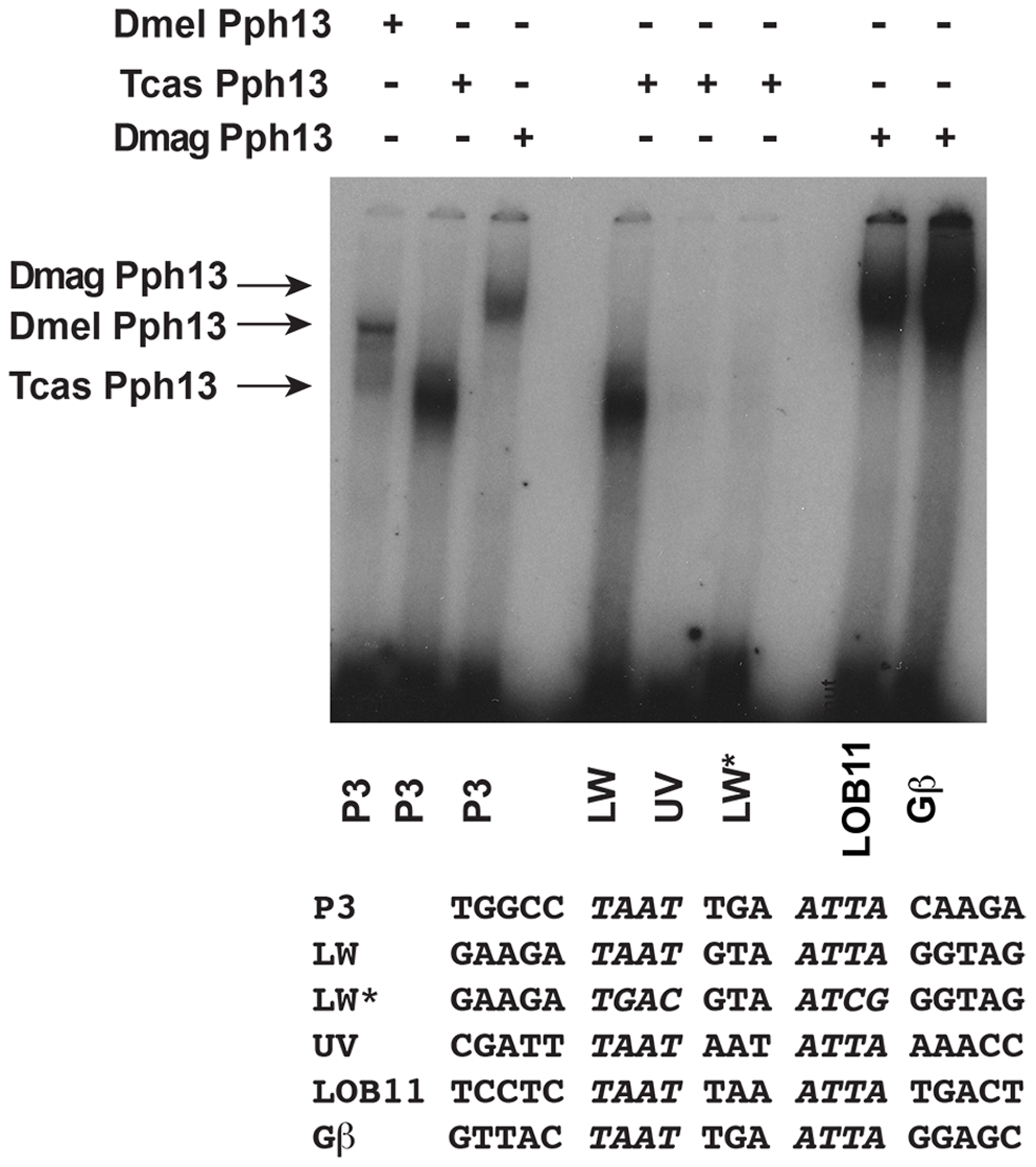 DNA binding properties of Pph13 are conserved among Pancrusteceans.