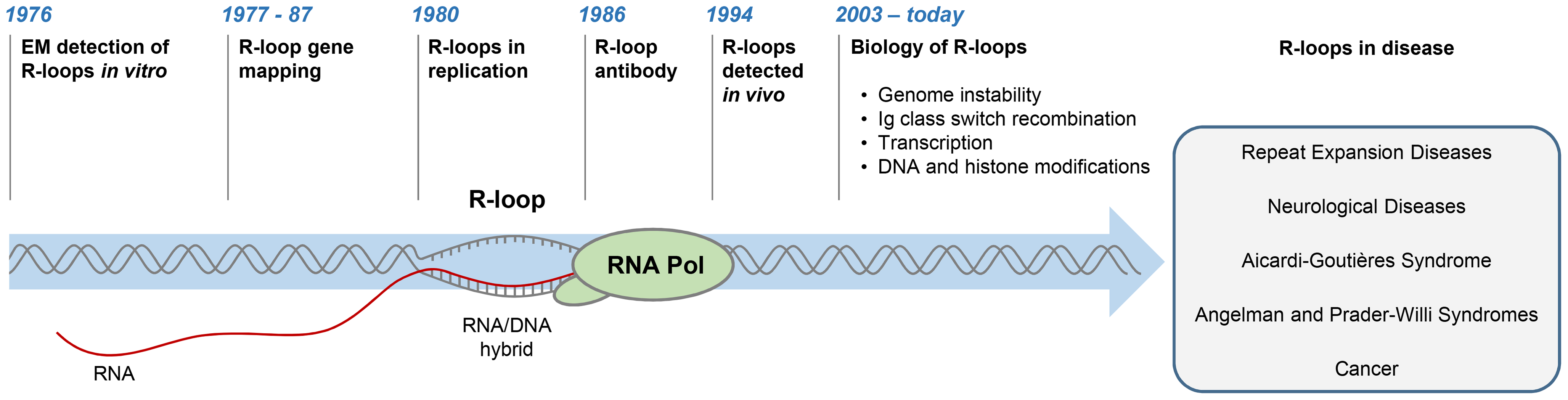 History of R-loop research.