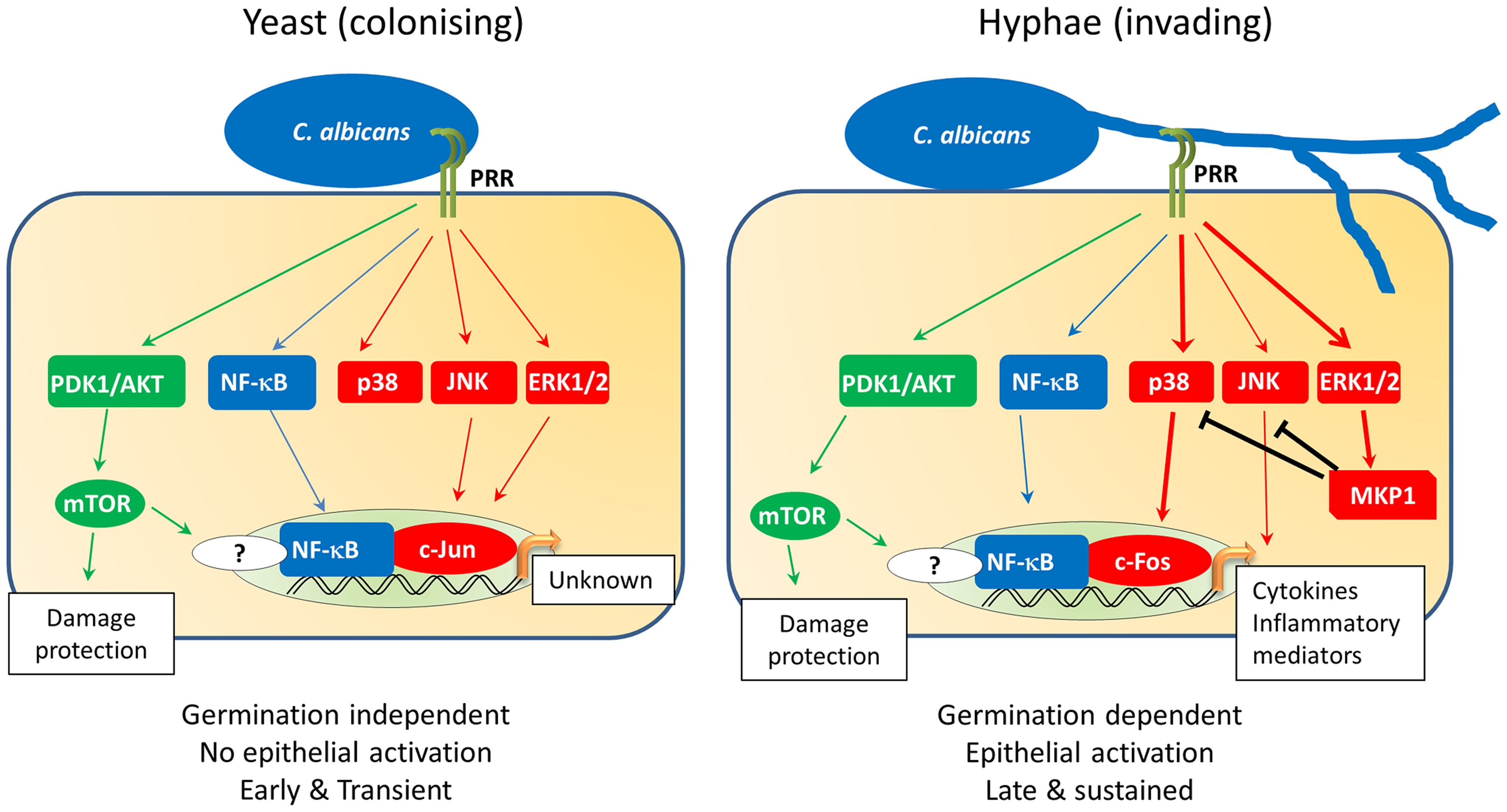 <i>C. albicans</i>-induced epithelial cell signalling.