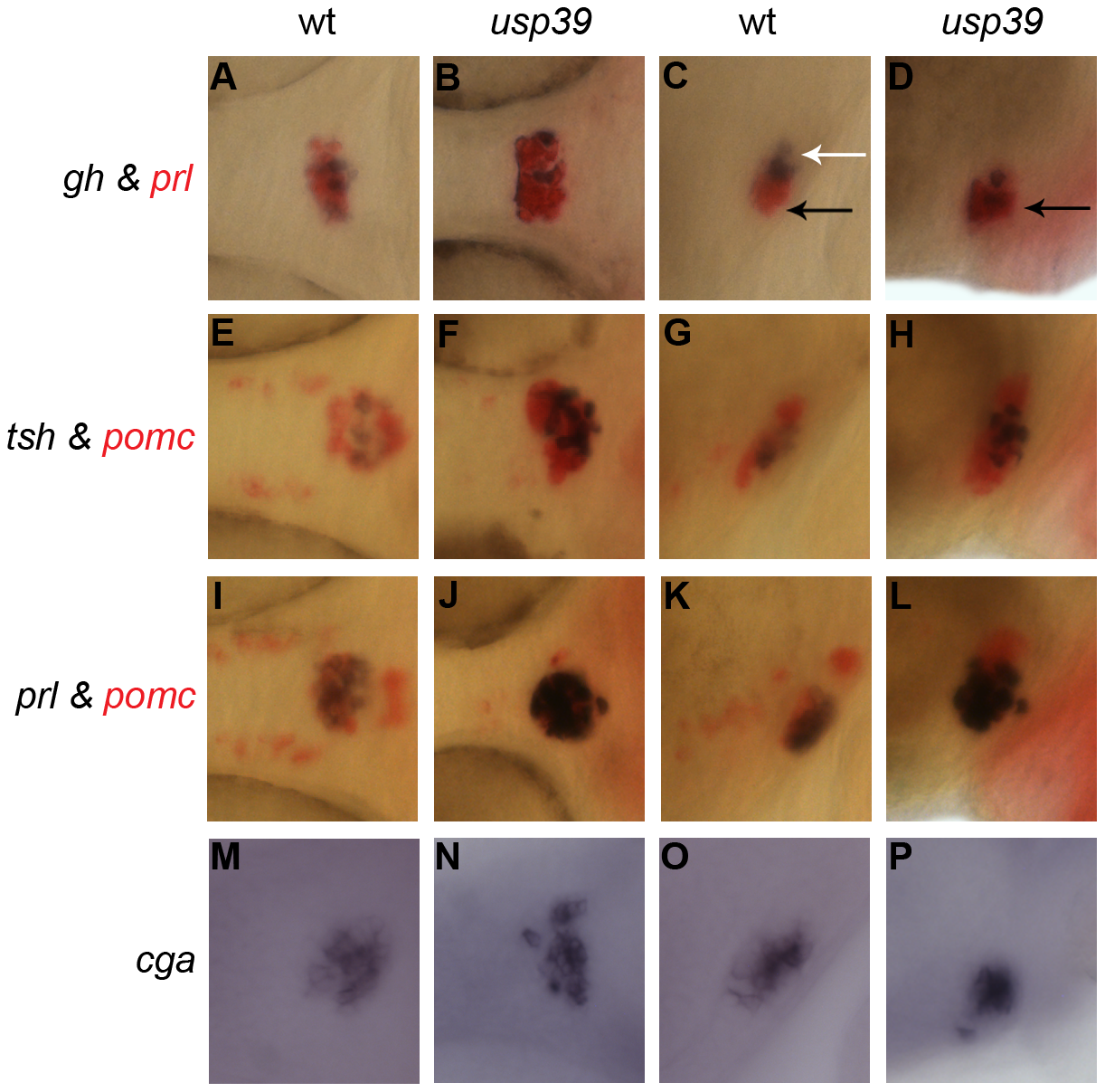 <i>usp39</i> mutation lead to expansion of all pituitary cell lineages at 48 hpf as indicated by pituitary hormone markers.
