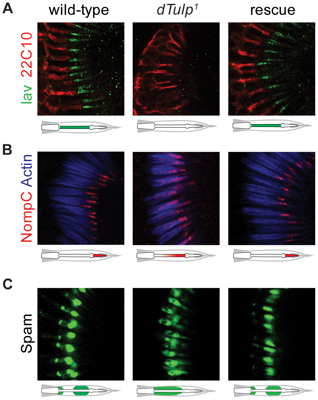 Mislocalization of Iav, NompC and Spam in the <i>dTulp</i> mutant.