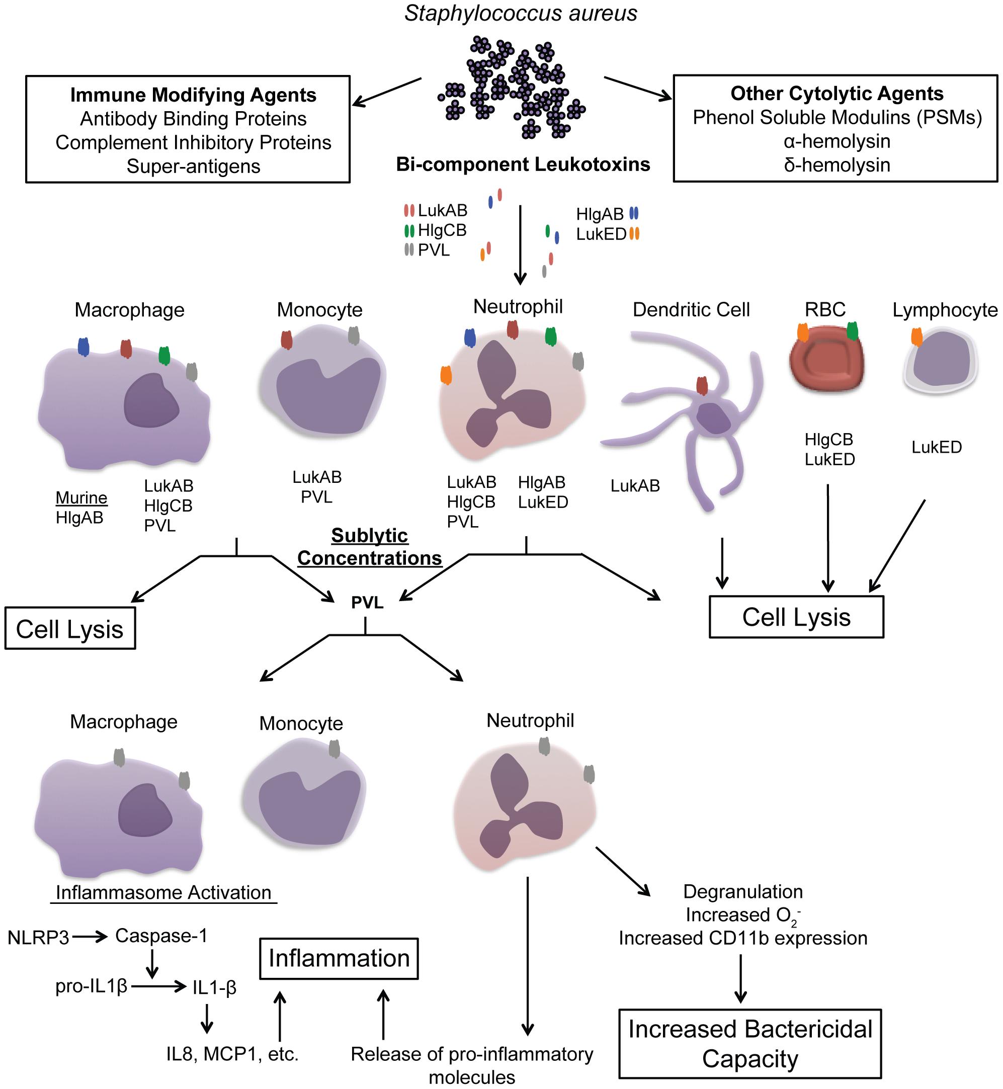 Overview of <i>S. aureus</i> leukotoxin action on host immune cells.