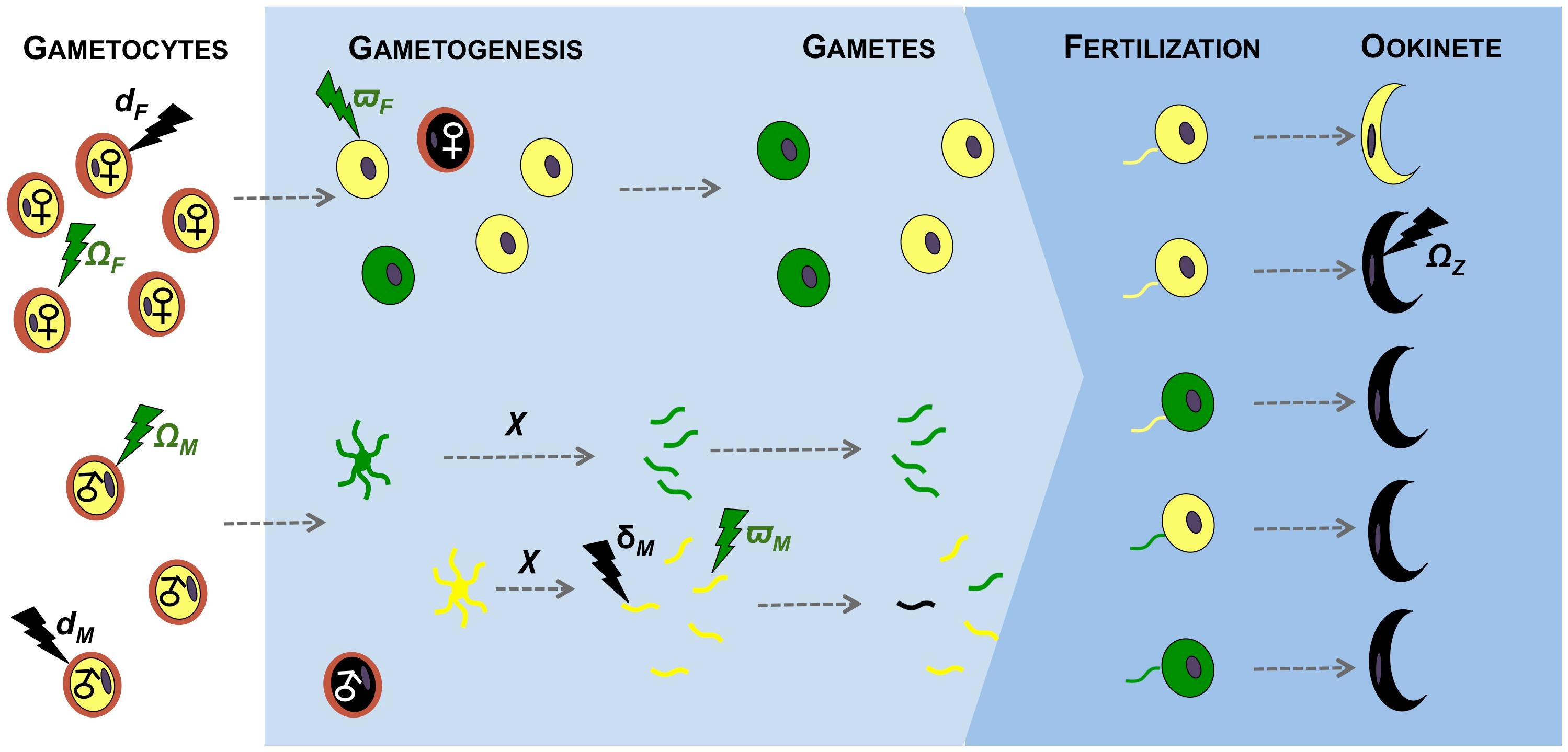 Effects of immunity on gametogenesis and fertility of malaria parasites.