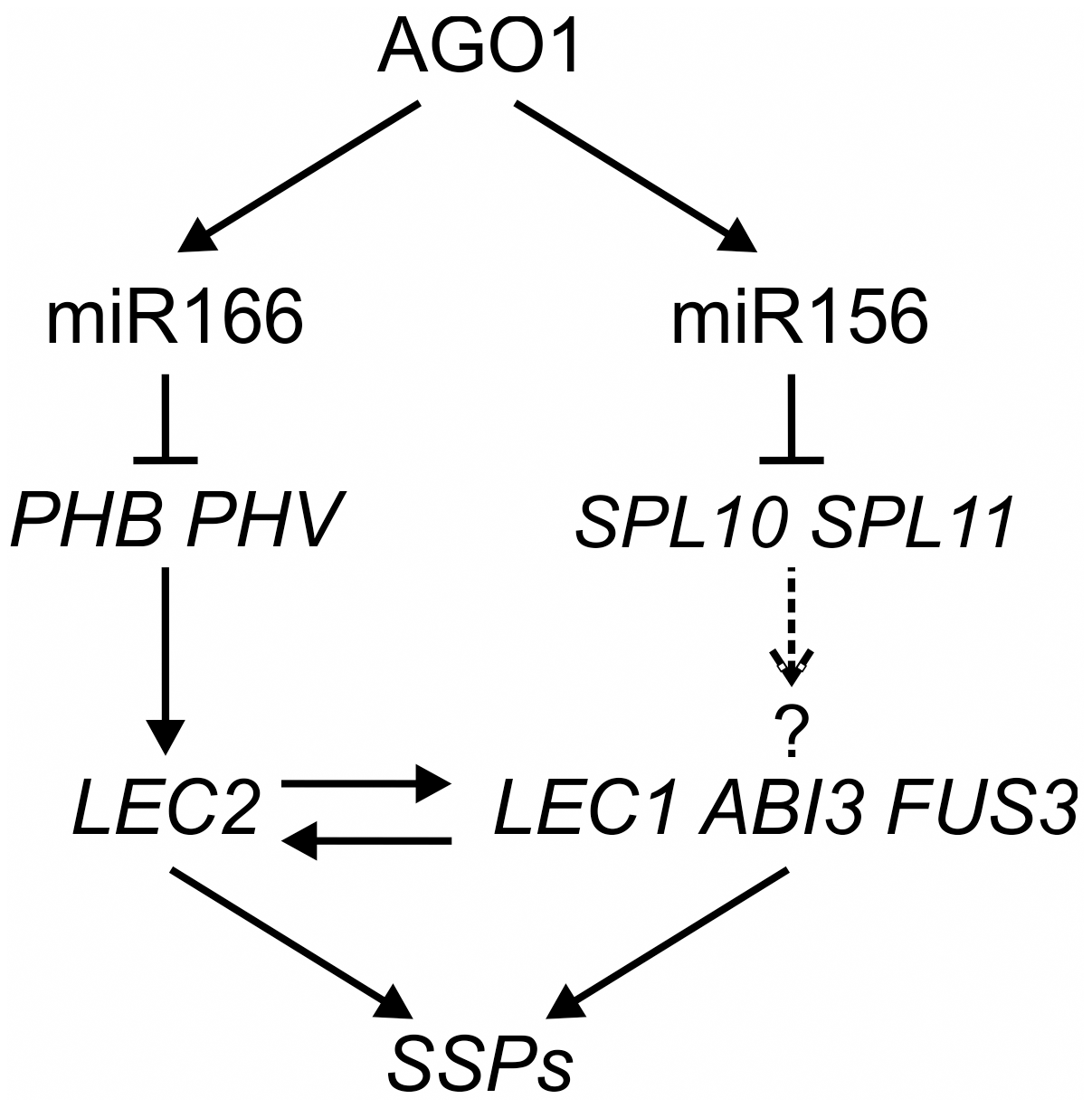 A Model of MicroRNA–Mediated Repression of Seed Genes in Leaves.