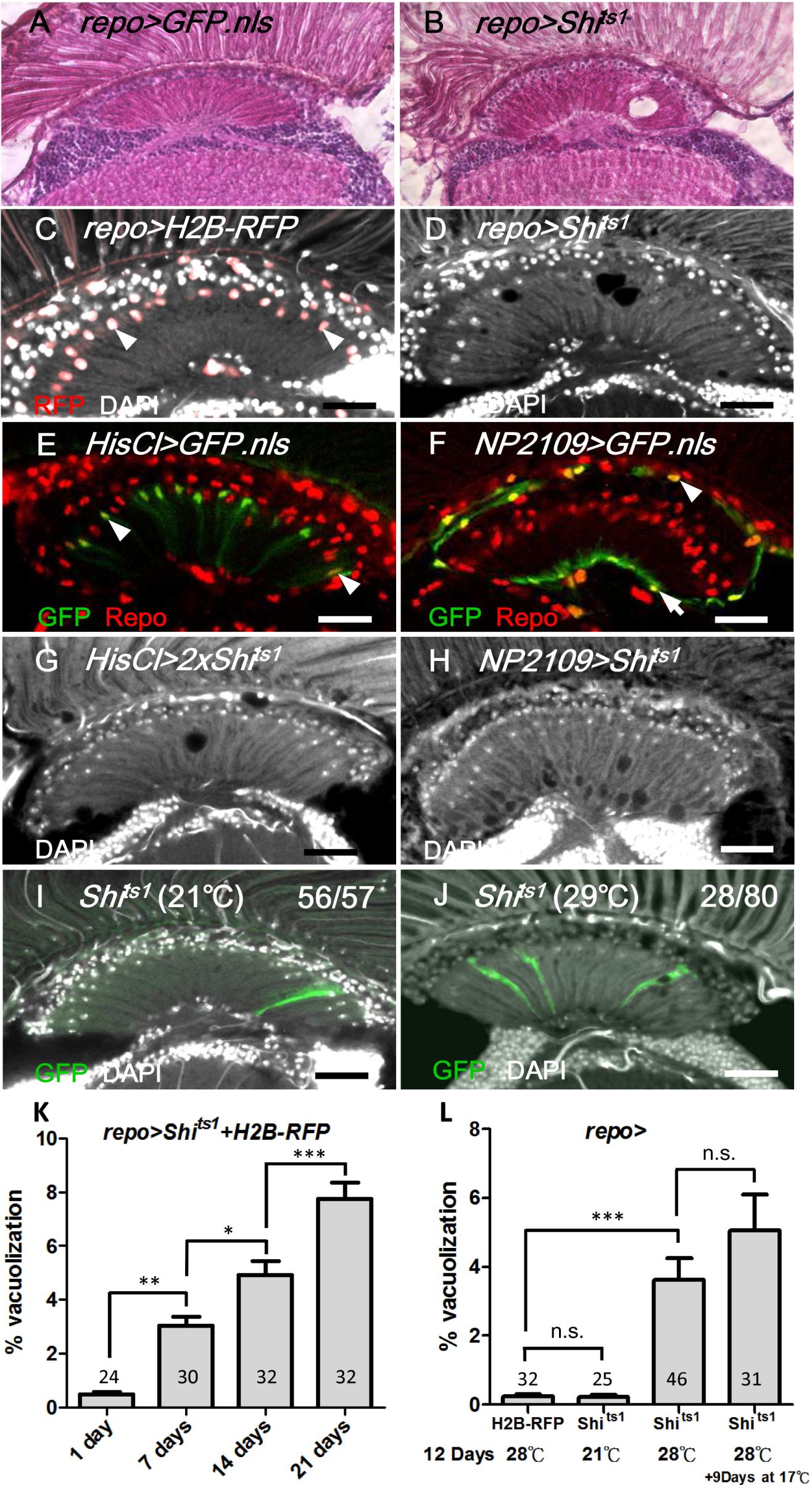 Shi<sup>ts</sup> induced cell-autonomous glia degeneration in optic lamina.