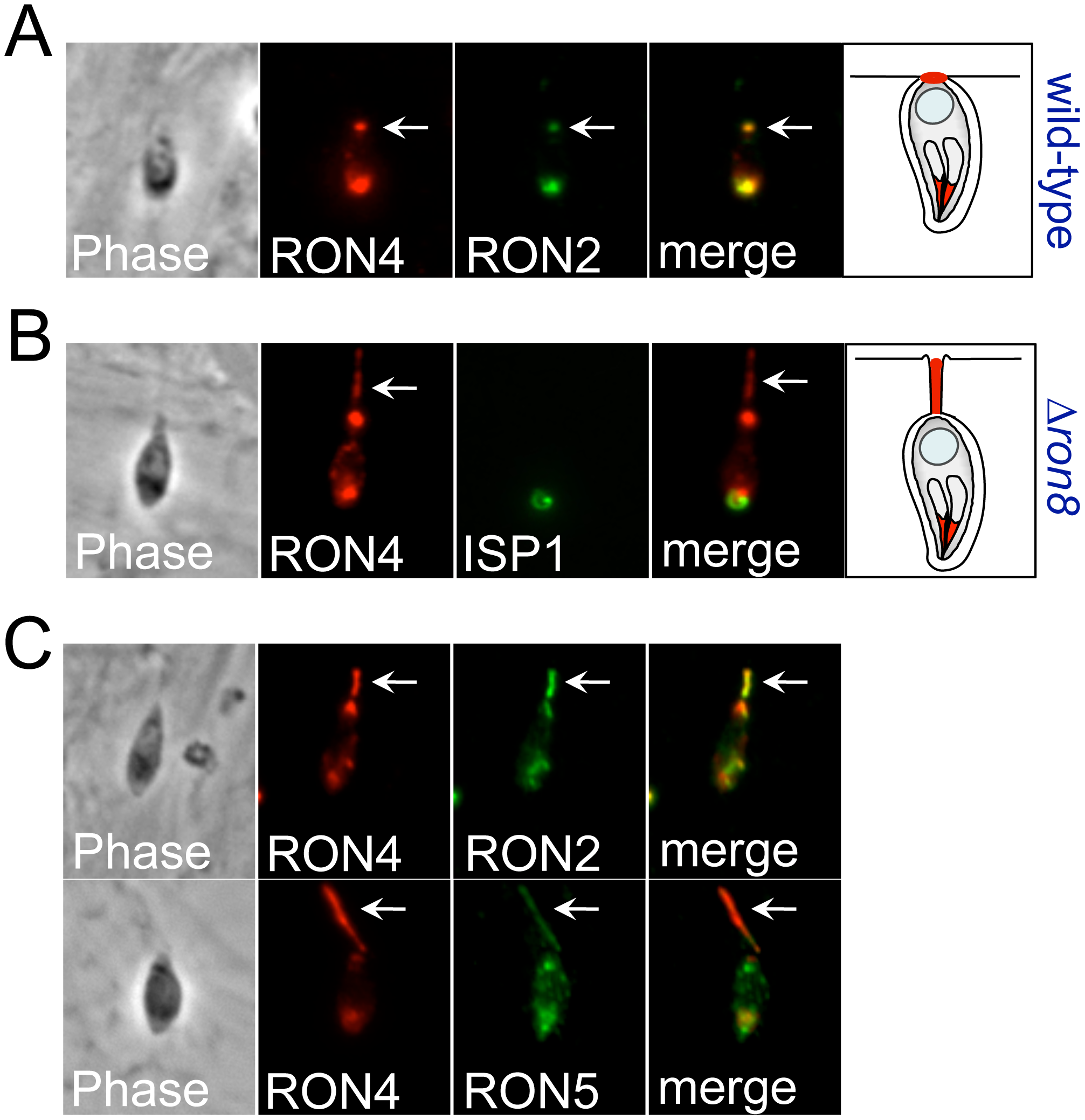 Disorganized secretion of junction components in Δ<i>ron8</i> parasites.