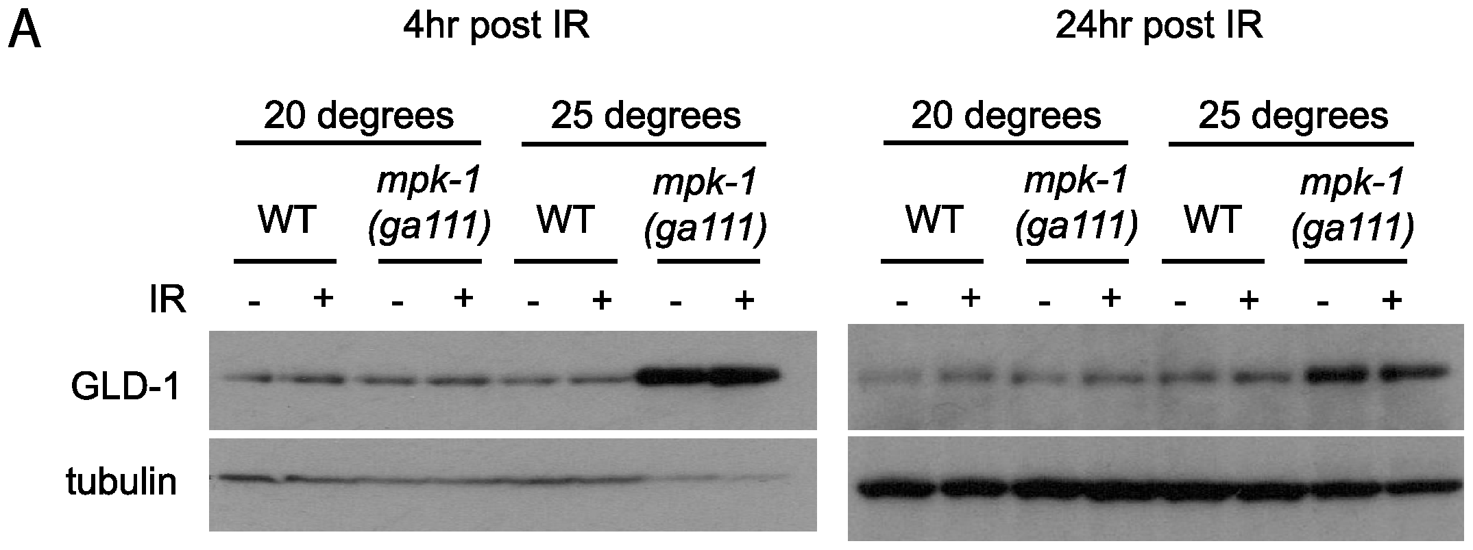 GLD-1 levels are affected by MPK-1 signaling.