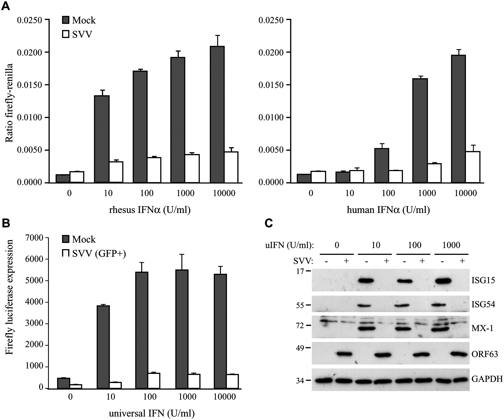 SVV inhibits IFN-induced ISG expression.