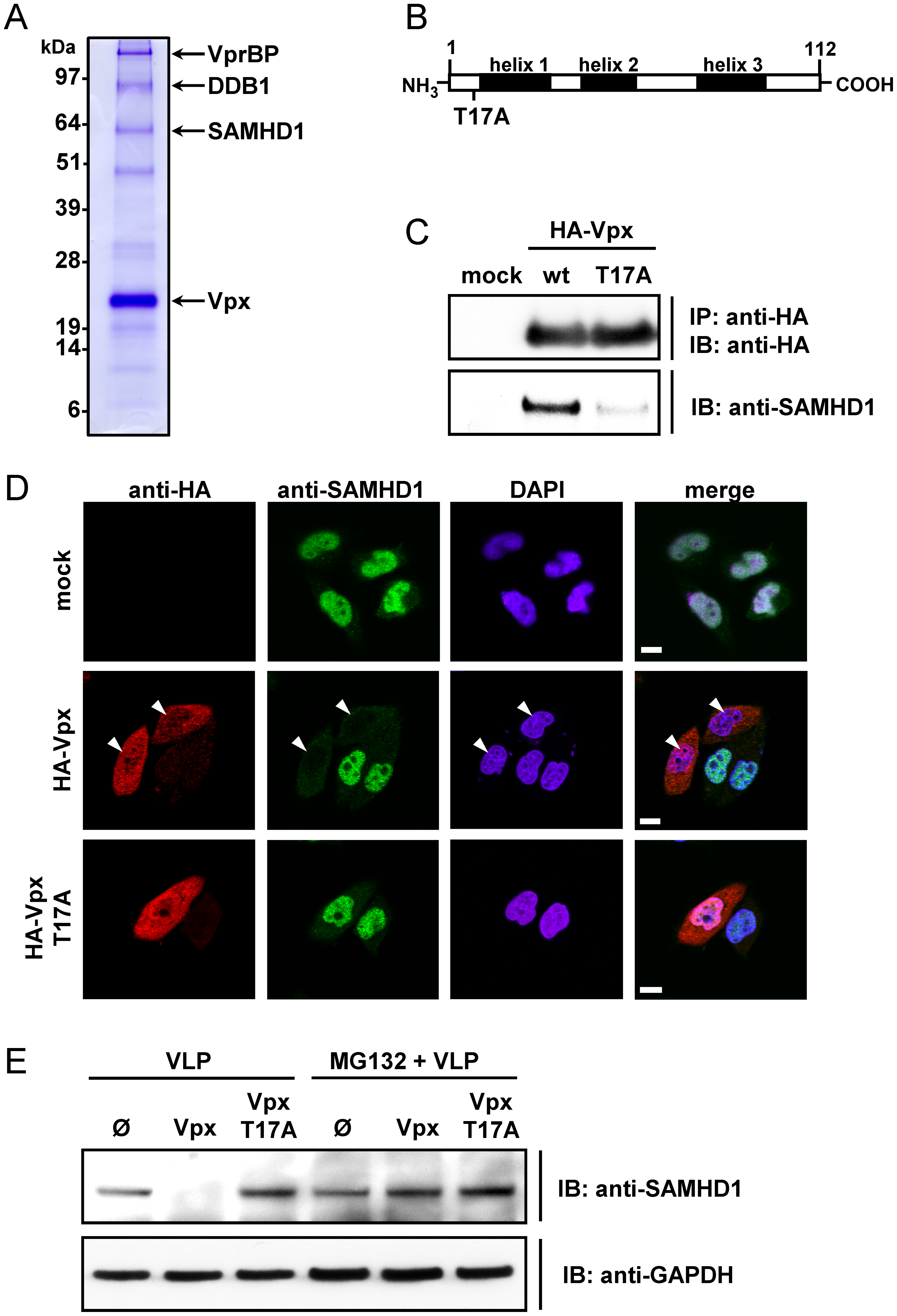 SAMHD1 is identified as Vpx binding protein leading to its degradation.